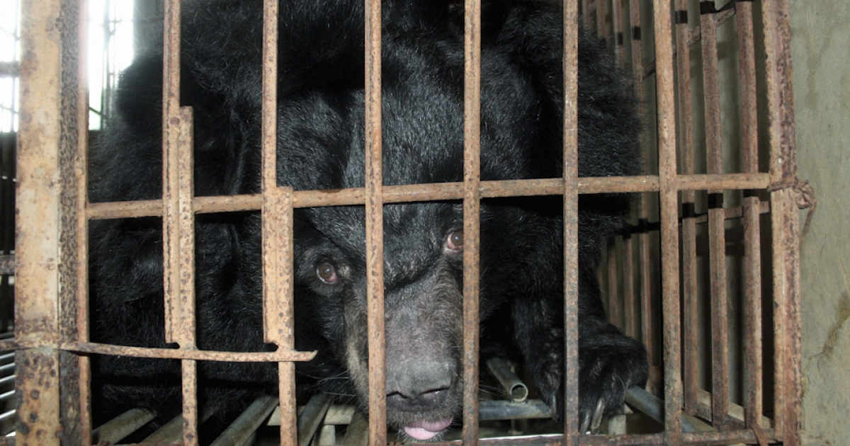 A caged bear is raised for bile extraction at a private restaurant in Van Dinh town, northern province of Ha Tay, November 23, 2006. Keeping bears caged for commercial purposes has been banned in Vietnam for nearly two years. But experts say 4,000-5,000 remain caged, many feeding the illicit trade, sometimes in battery facilities with hundreds of animals.</p>