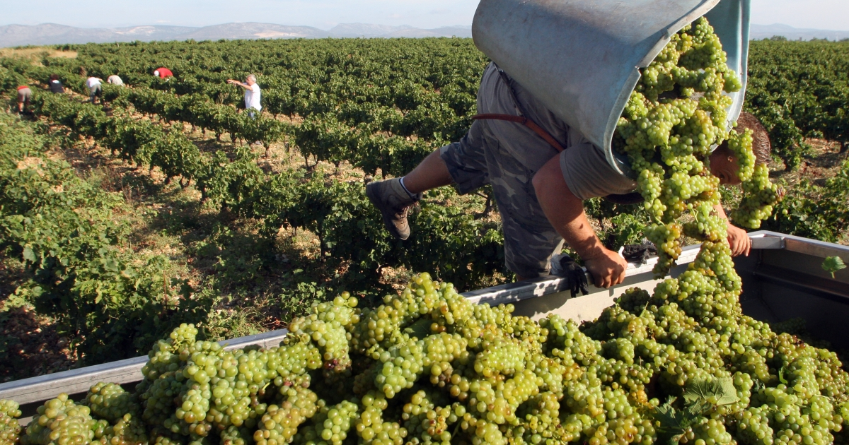 A vintager harvests Muscat grapes in the southern French town of Rivesaltes. The changing environment may force the French to change their strict system for producing wines.</p>