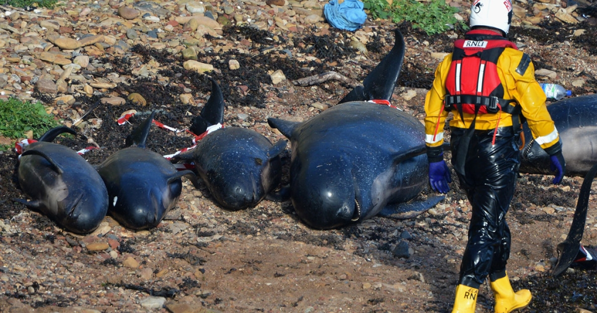 PITTENWEEM, SCOTLAND - Emergency service personnel walk near beached whales as they continue in their rescue attempt to save a large number of pilot whales who have beached on September 1, 2012 in Pittenweem, Scotland. Ten of the whales were rescued Monday by floating them out to sea.</p>