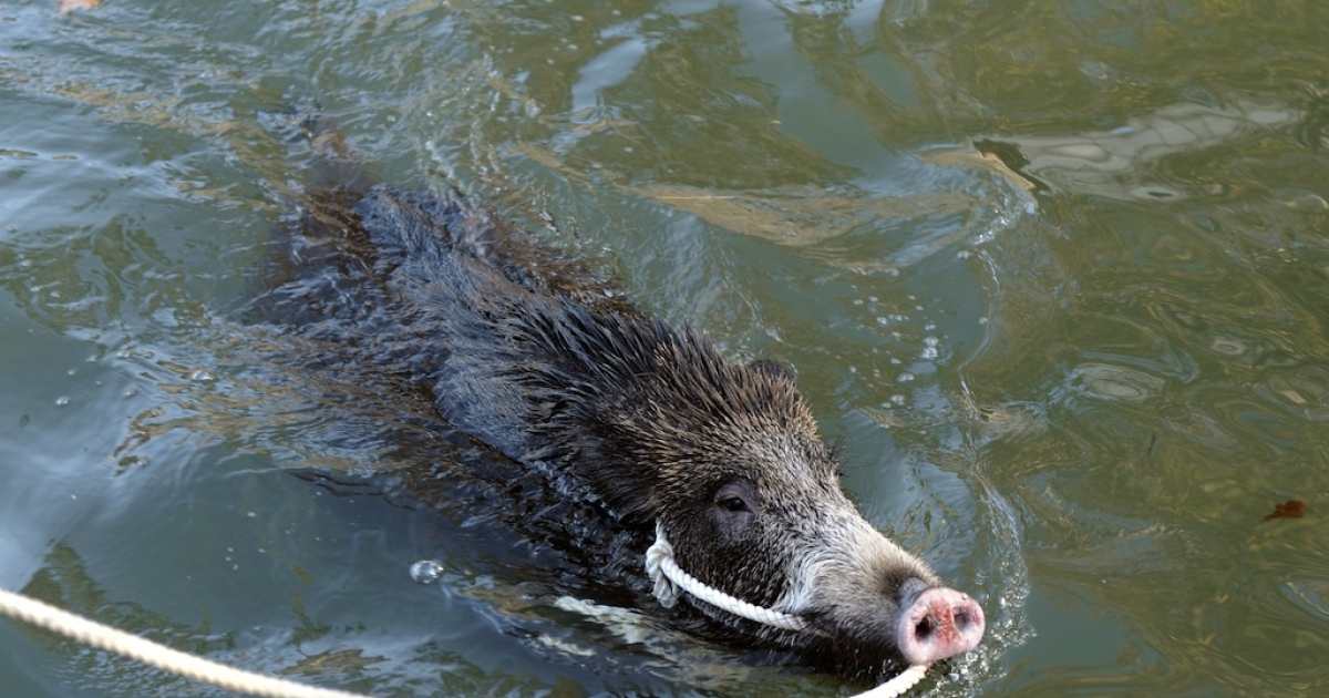 European boars are said to be hazardous for Mexican fauna</p>