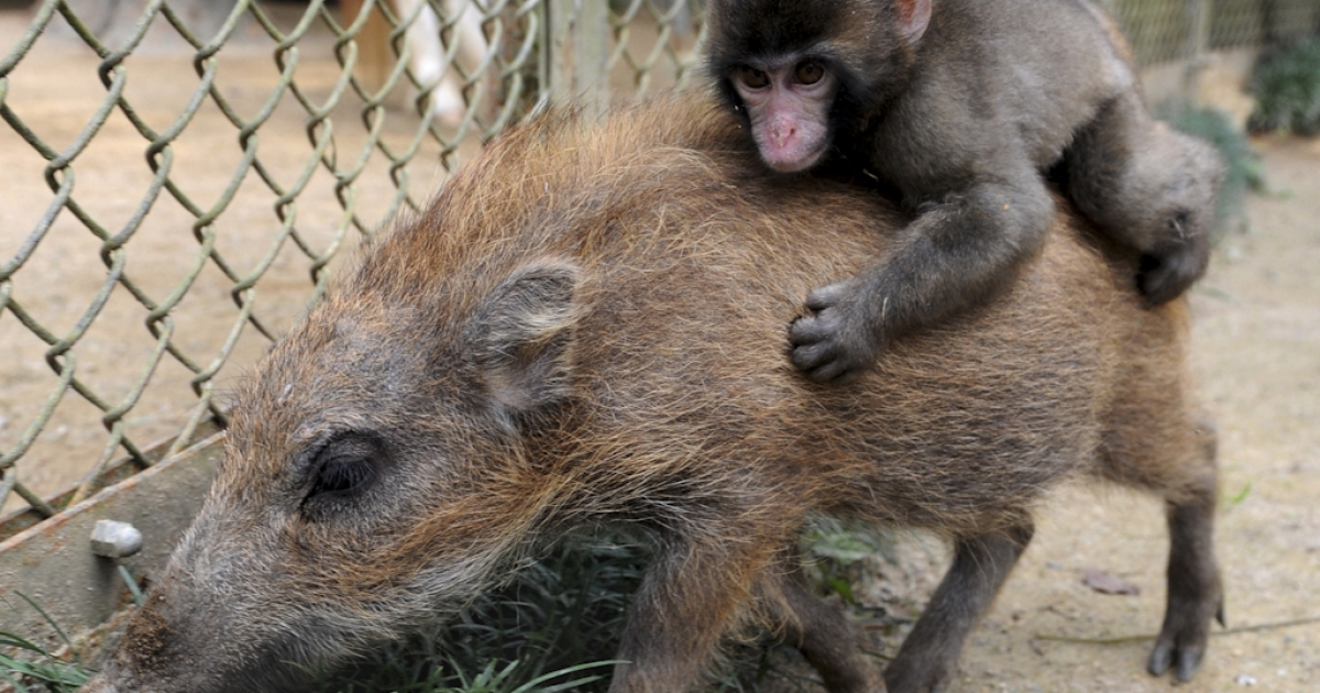 A baby monkey named Miwa hangs on to the back of a baby boar named Uribo while they run around in the Fukuchiyama City Zoo, Kyoto Prefecture on October 19, 2010. Both have been sheltered by the zoo since June after losing their mothers.</p>