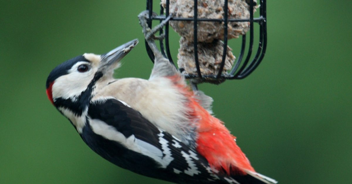 A Woodpecker Feeds In Carshalton, England.</p>