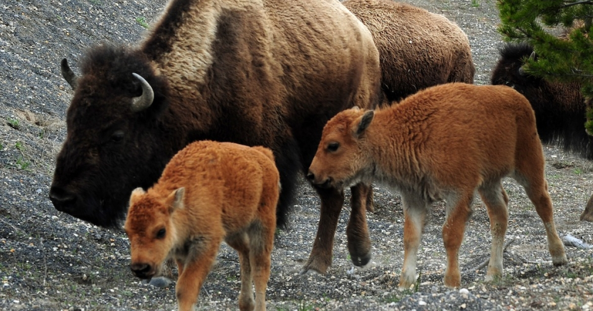 American Bison (also known as Buffalo) and their calves, forage for food at Yellowstone National Park.</p>