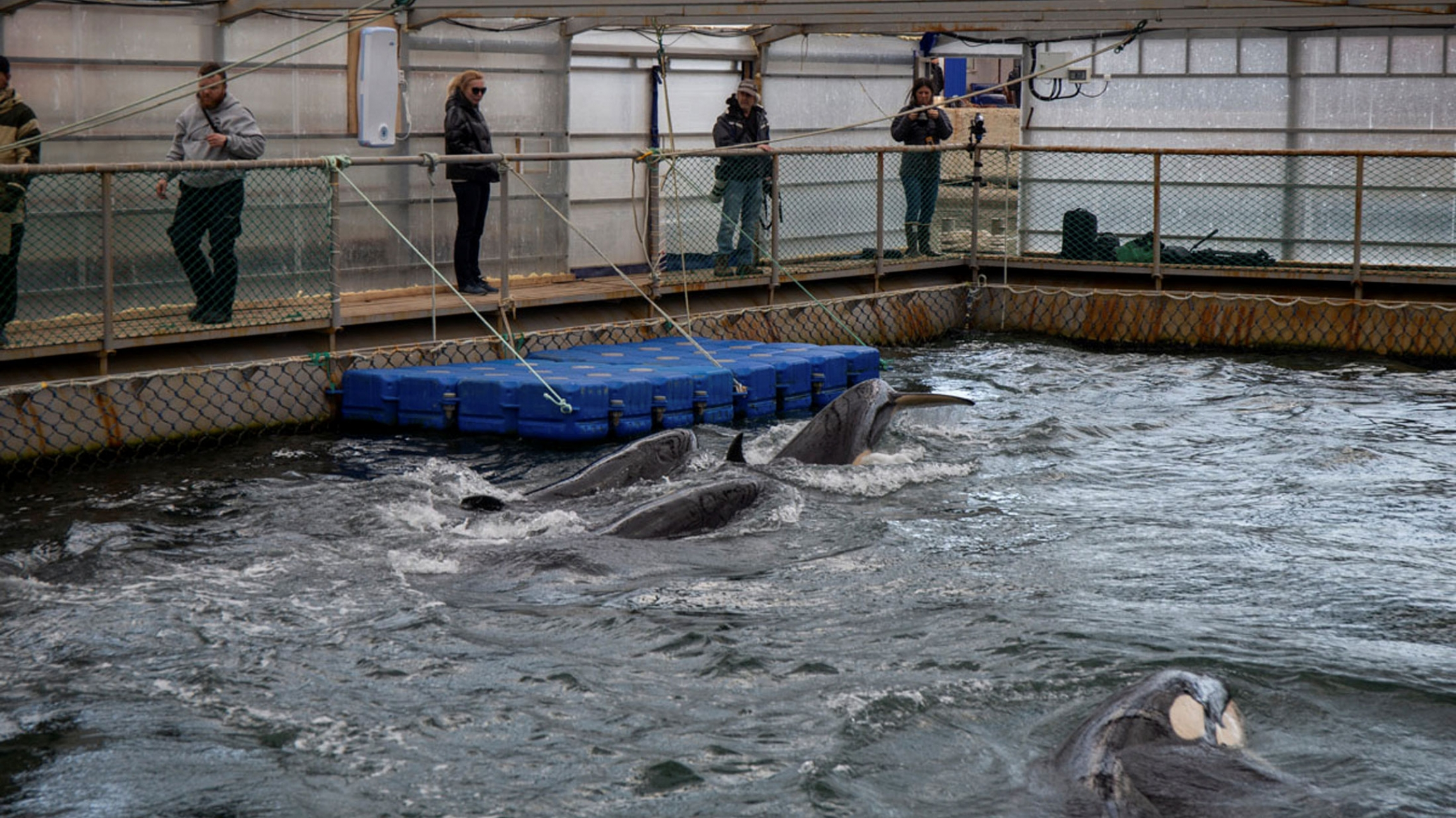 Several whales are seen swimming in the water in a tiny pool surrounded by decking where people are standing