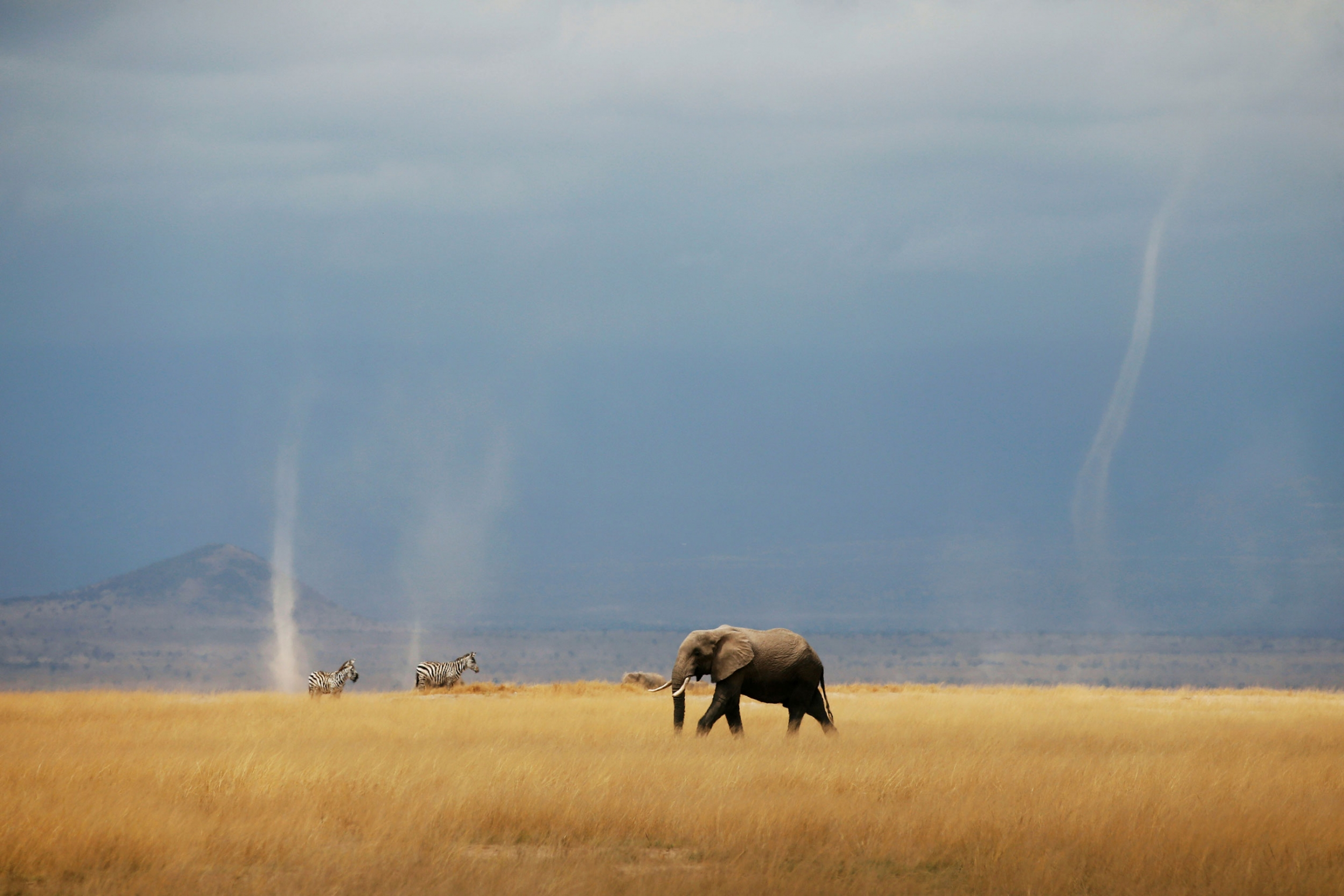A whirlwind is seen as elephant and zebras walk through the Amboseli National Park, Kenya.