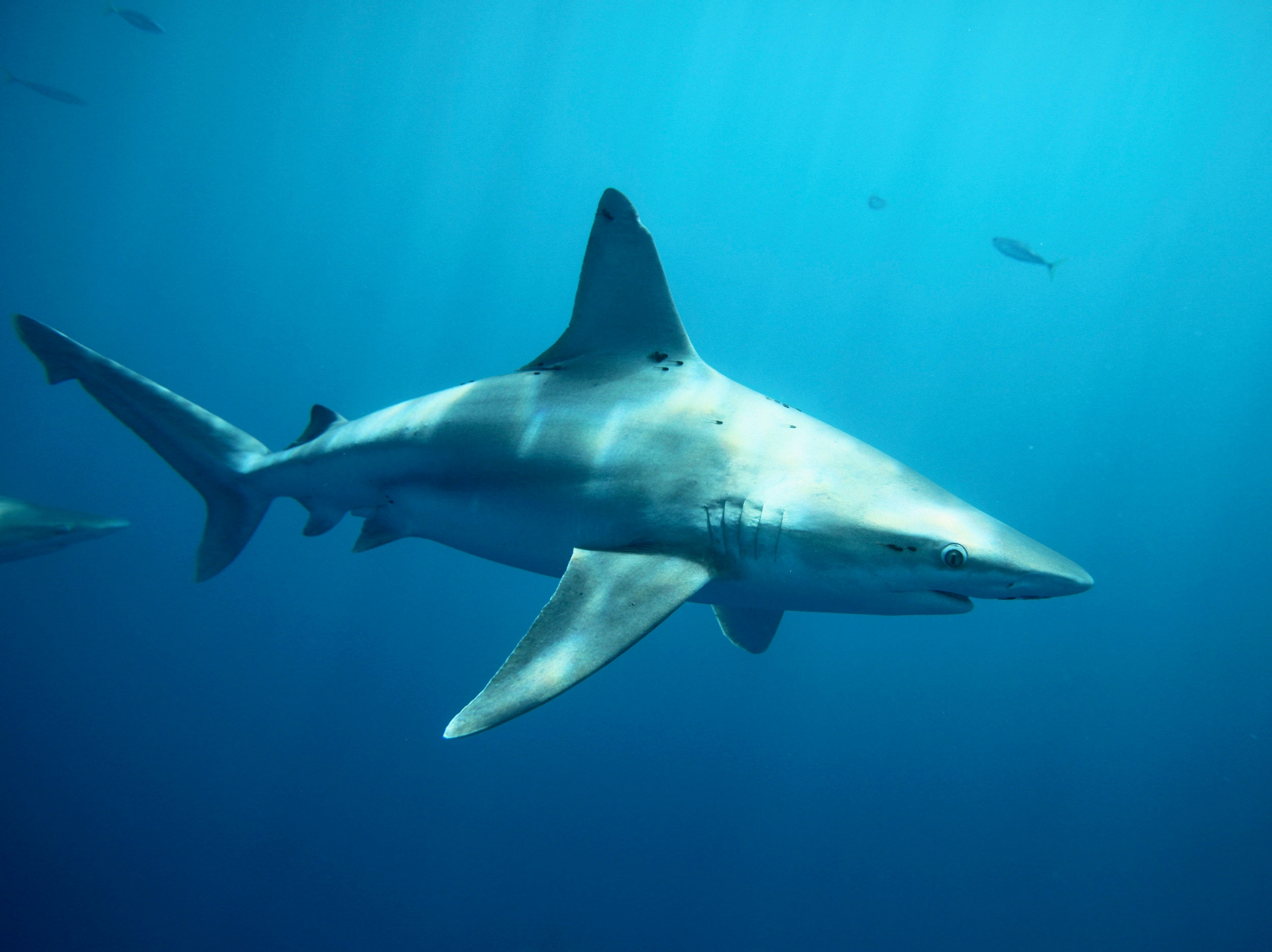 Sandbar sharks swim around during a cageless shark dive tour in Haleiwa, Hawaii.