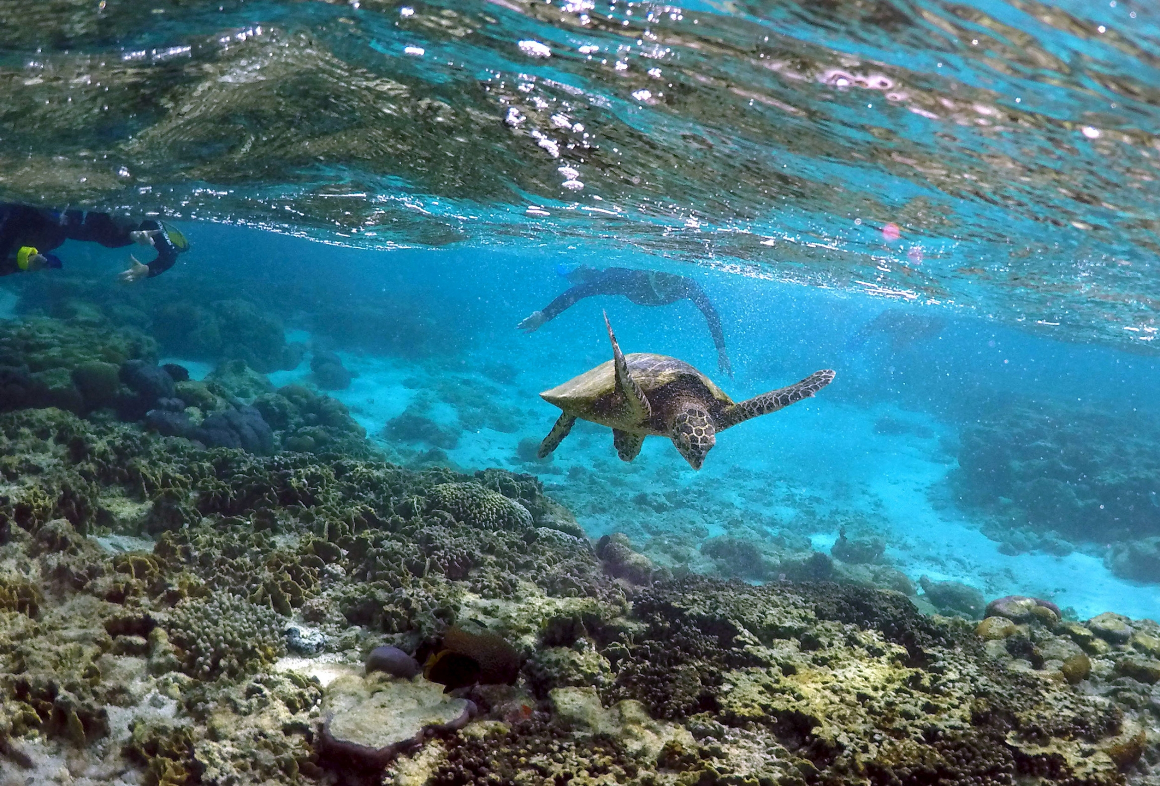 Tourists snorkel near a sea turtle as it looks for food amongst the coral.