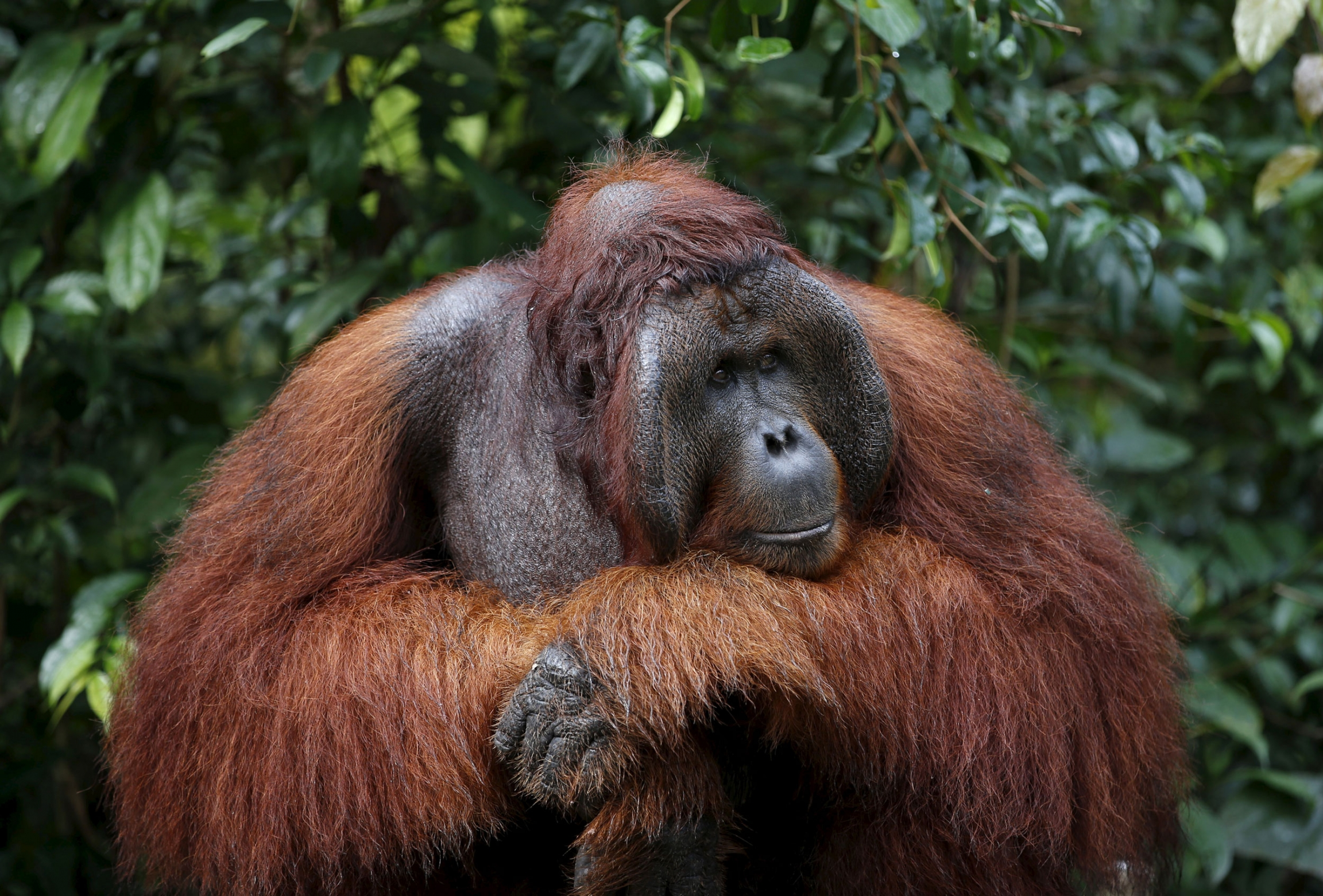 A male orangutan waits at a feeding station at Camp Leakey in Tanjung Puting National Park in Central Kalimantan province, Indonesia.