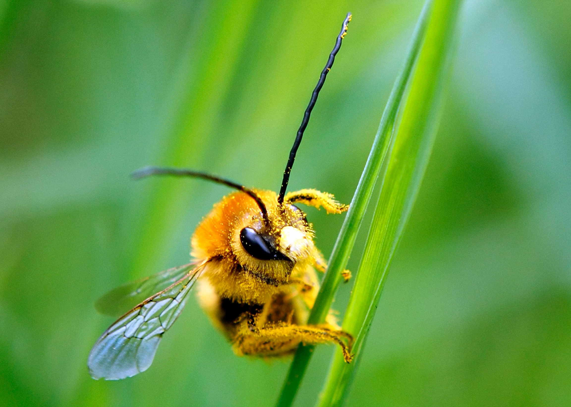 A bee is covered with pollen as it sits on a blade of grass at a lawn in Klosterneubur, Austria.