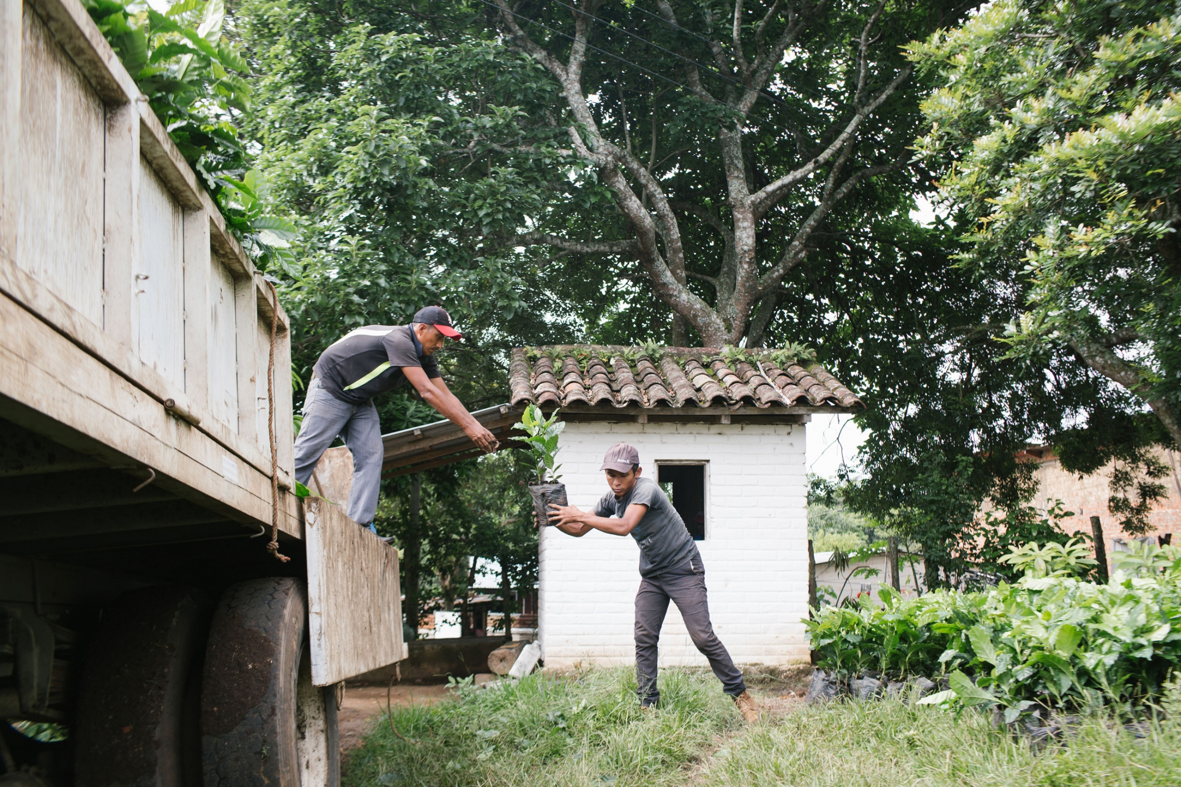 Two coffee workers are shown unloading small plants from the back of a truck.