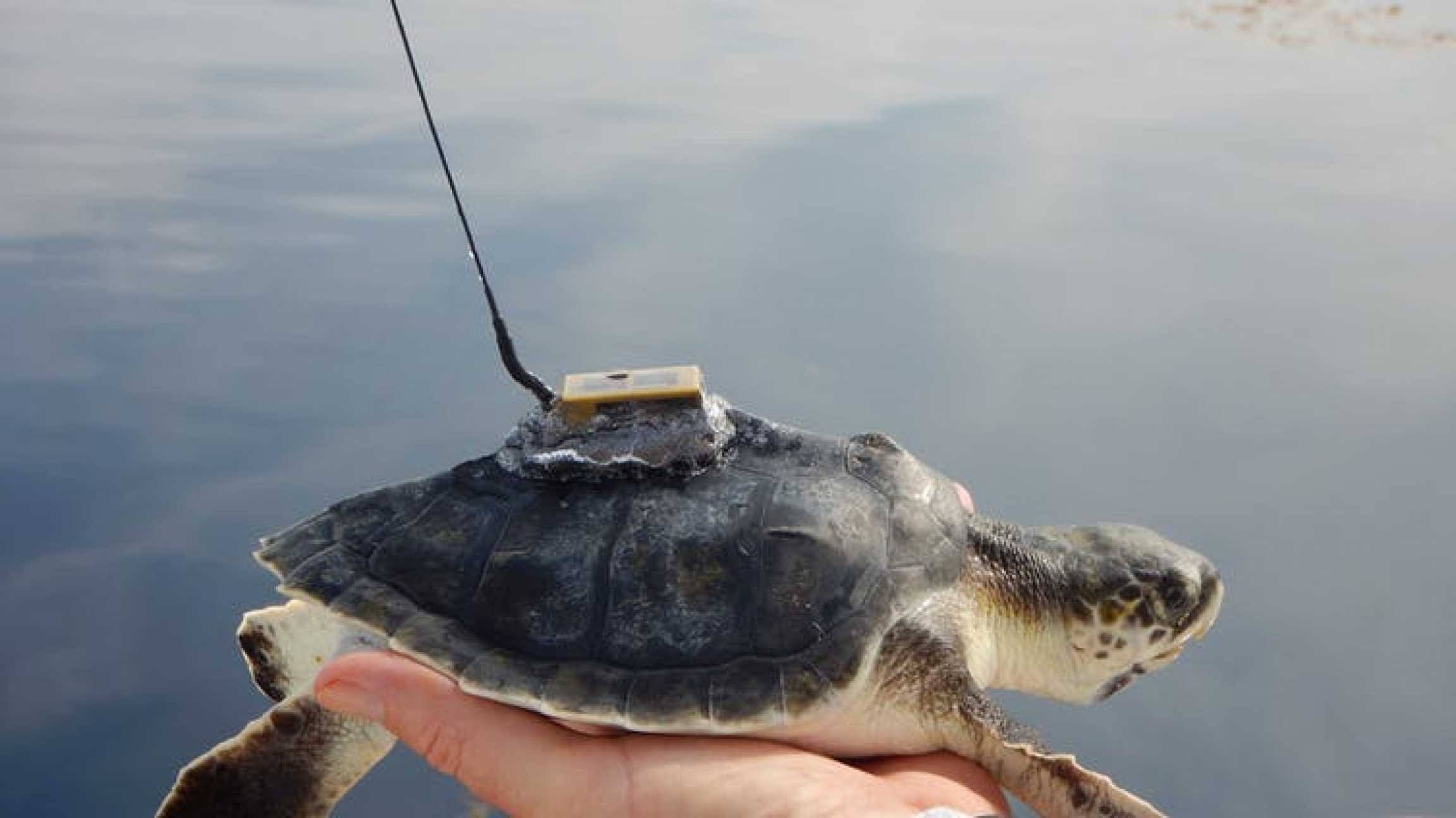 sea turtle with tracking device
