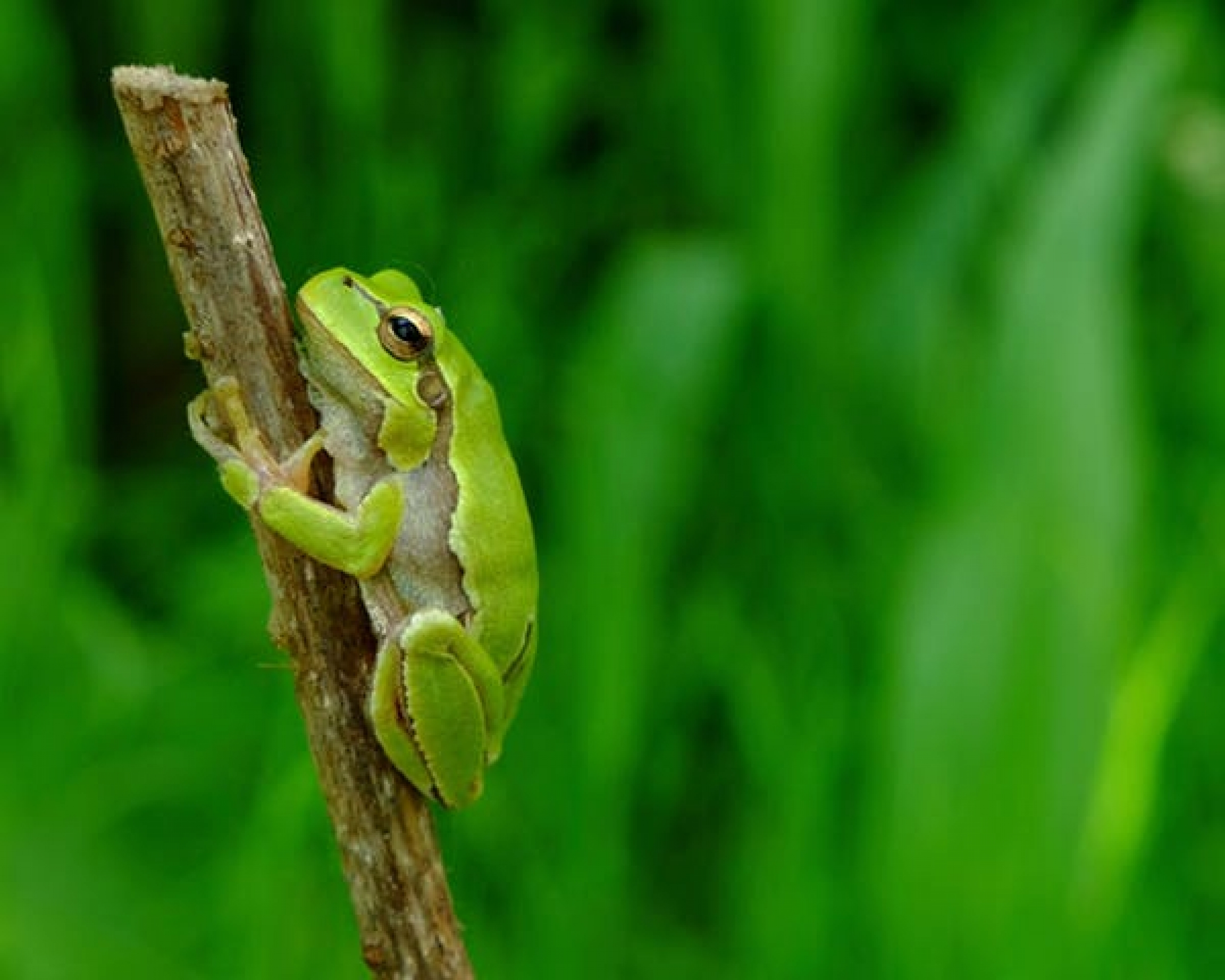 tree frog in ukraine