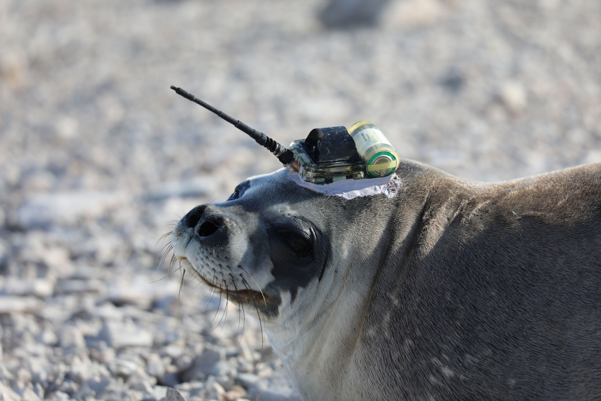 A seal turns it head. Atop its head is the transponder that will track climate data.