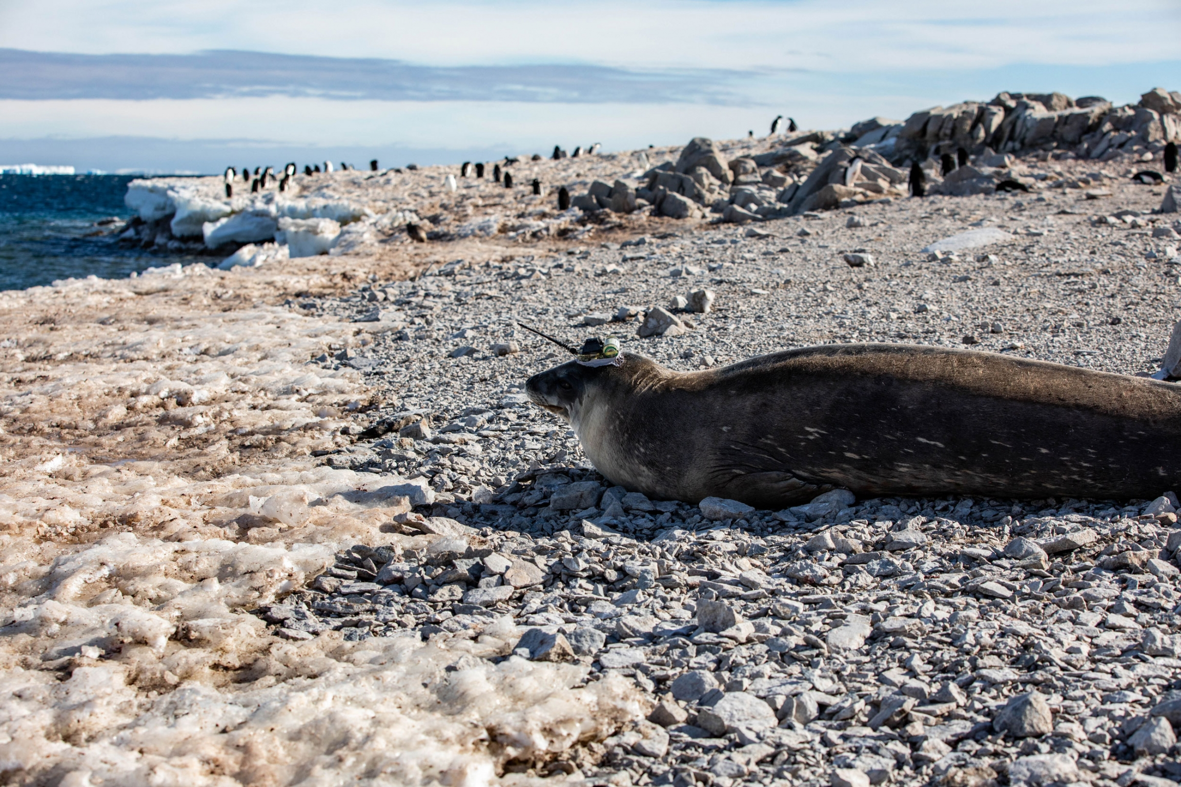 A seal rests on a rocky beach. It has a transponder on its head.