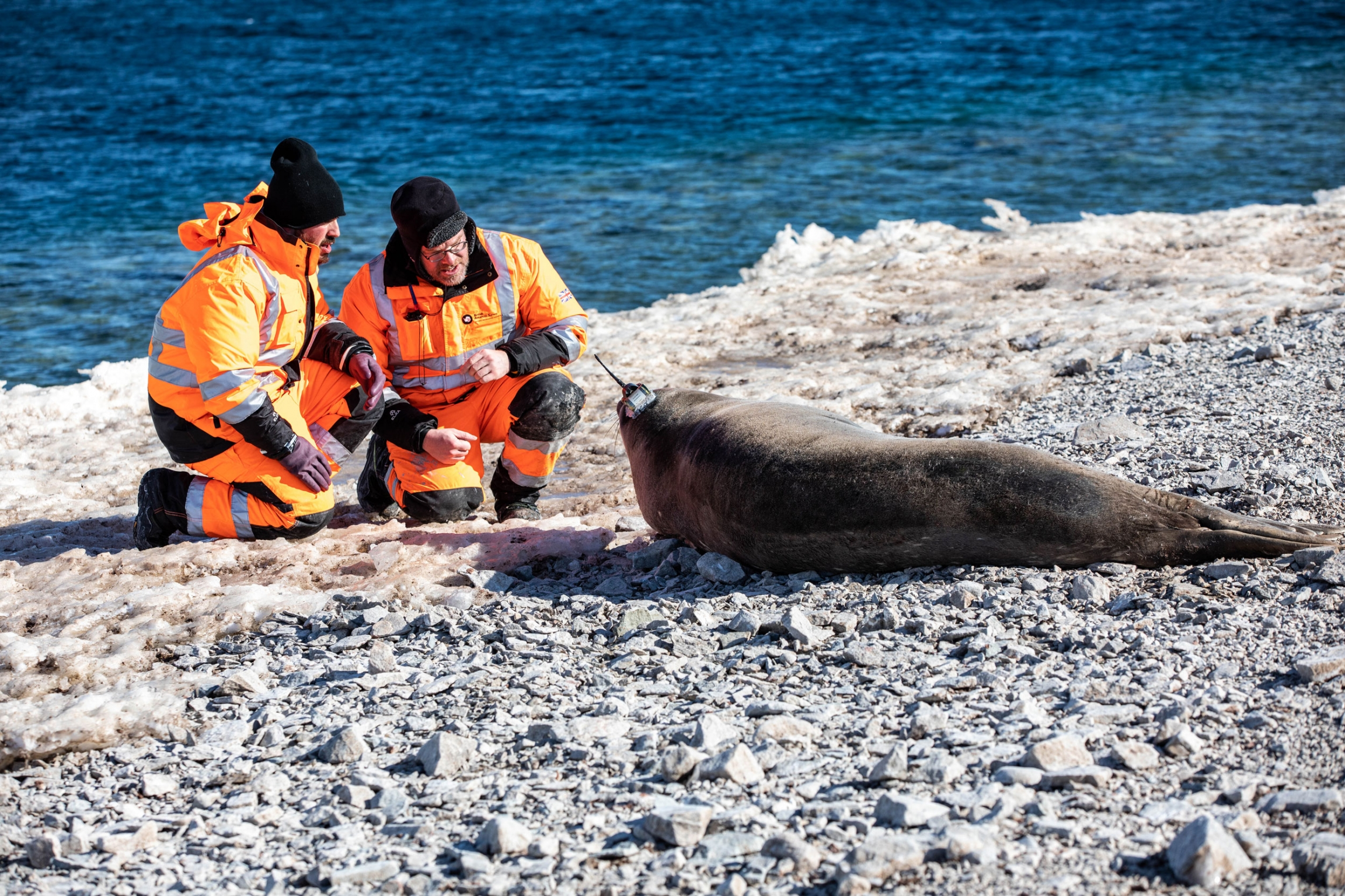 Two men kneel in front of a Weddell seal affixed with a transponder.