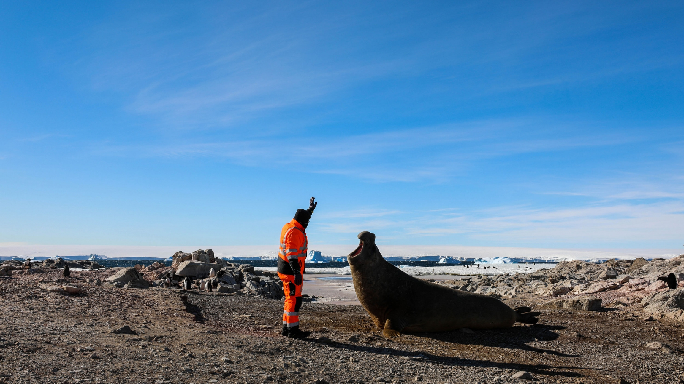 A ma in a bright orange suit holds his left arm in the air as an elephant seal opens its mouth to bellow.