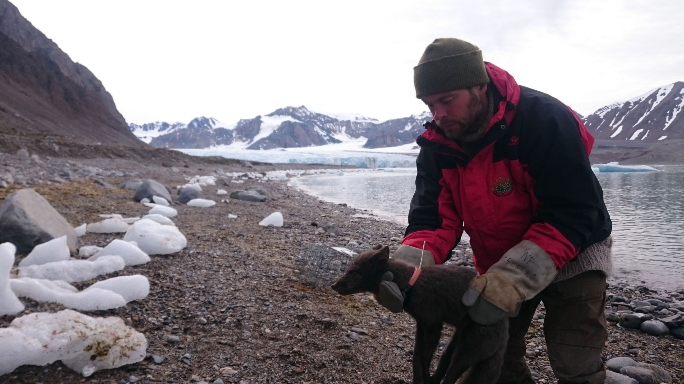 A researcher in the Arctic holds an arctic fox wearing a tracking collar.