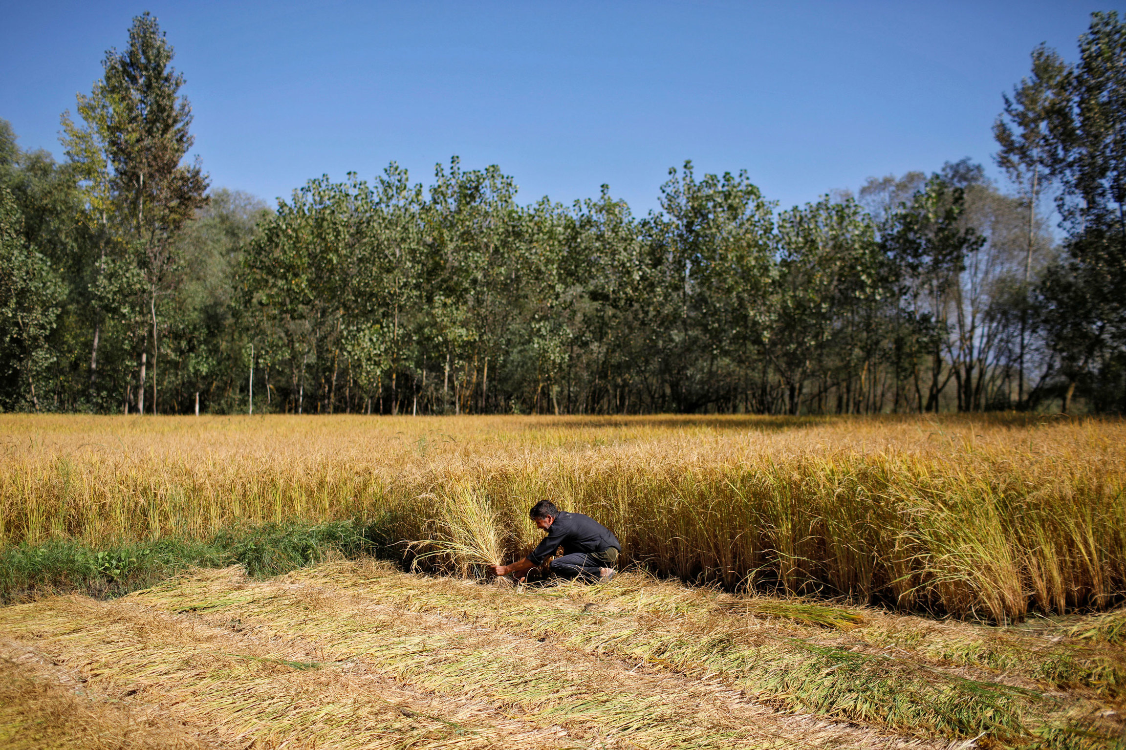 A man is shown kneeling next to a field of golden colored rice paddy.