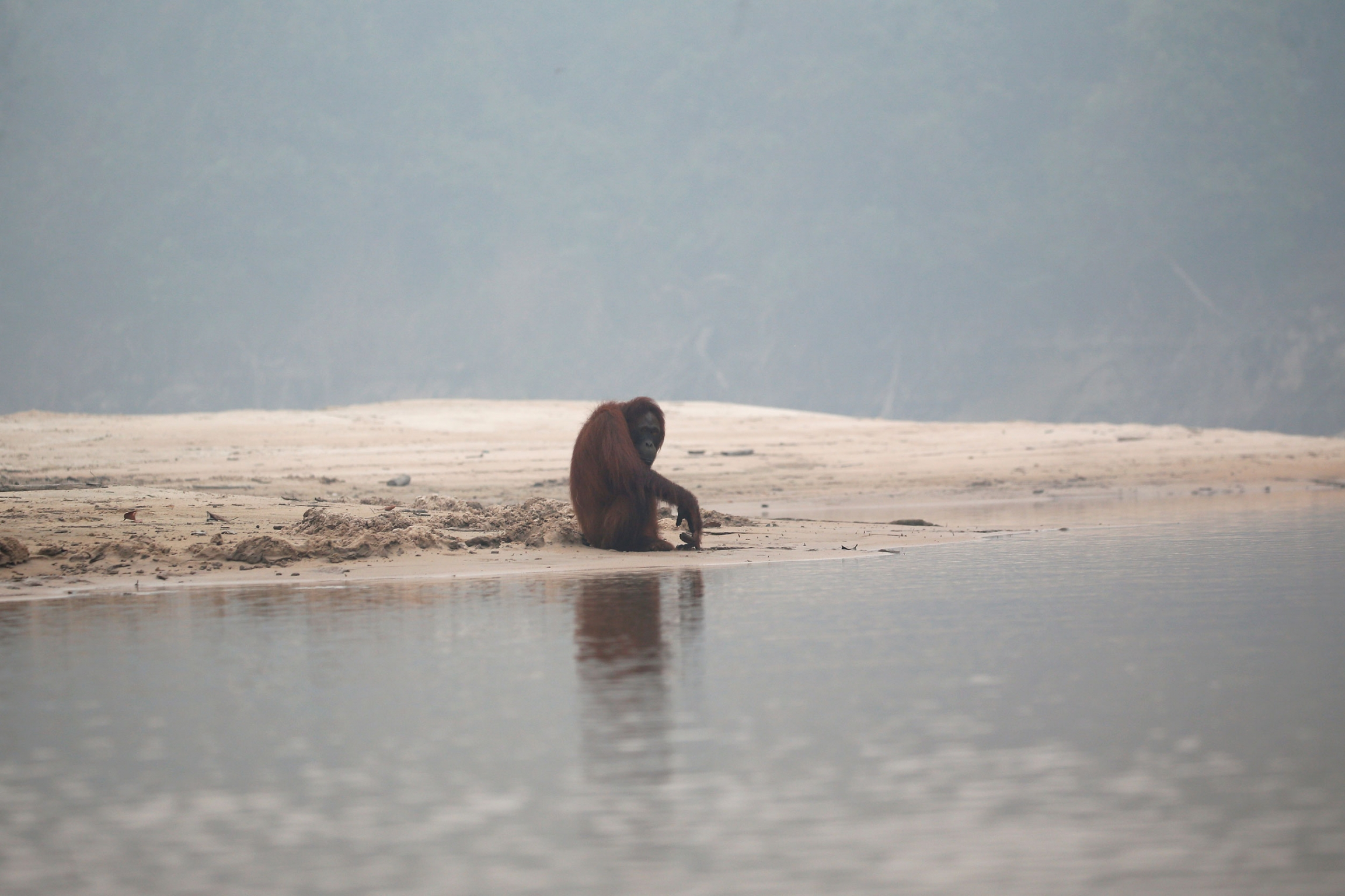 An orangutan is shown sitting on the edge of a beach with smoke clouding the background.