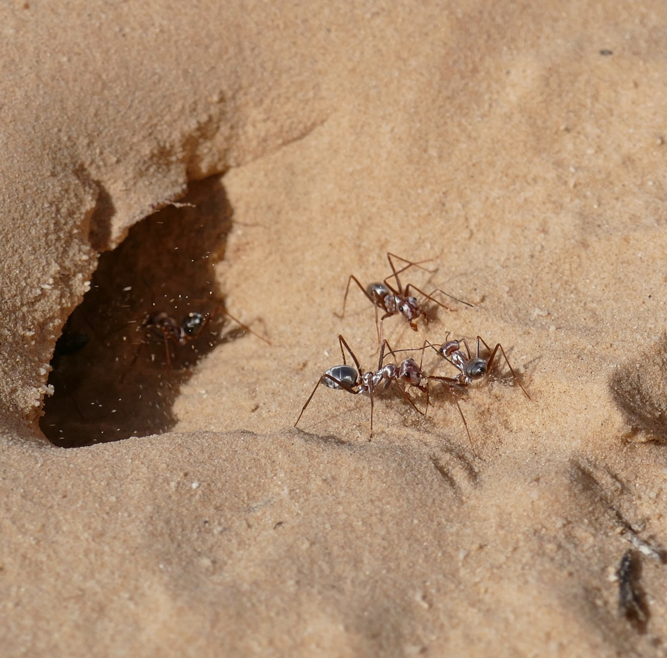 Close up of ants near entrance to nest in yellow sand