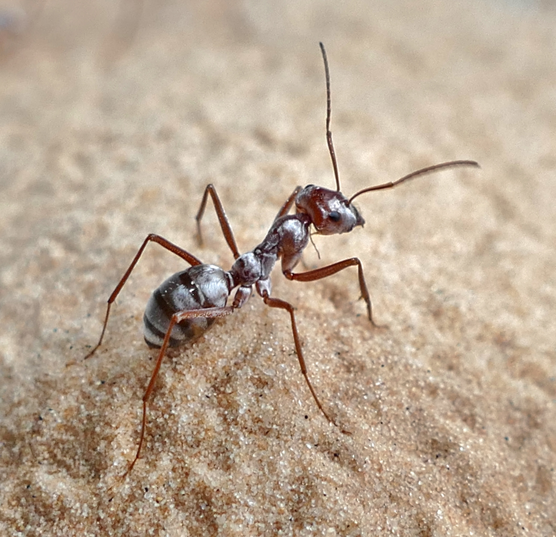 Up close image of ant with 6 legs