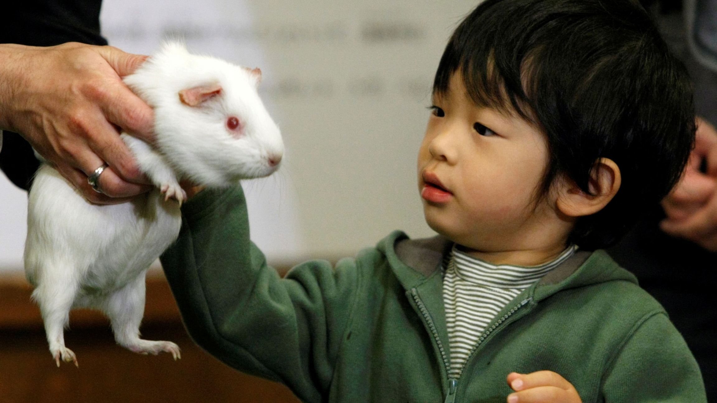 A small child touches a guinea pig