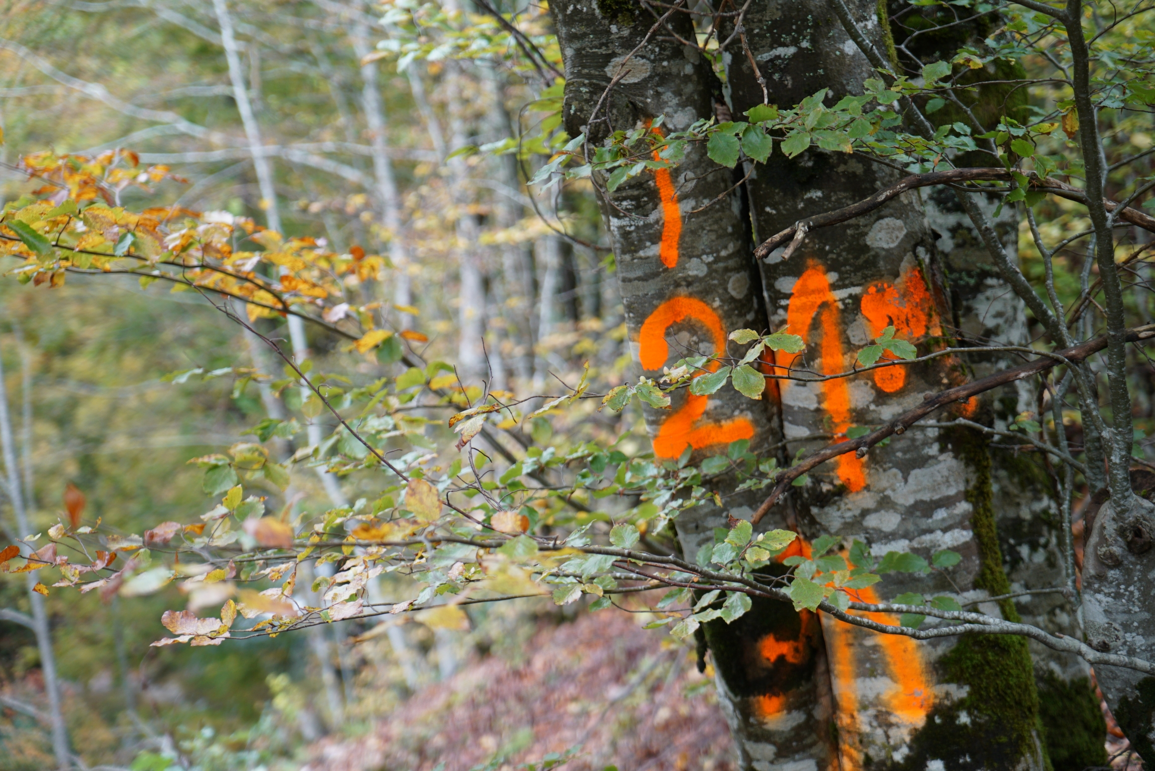 A tree is spray-painted with orange markings