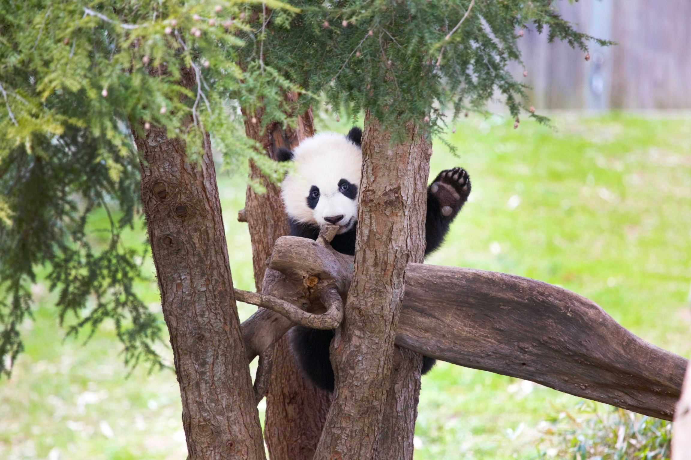 Black and white panda in a tree and waves his paw like he's waving goodbye