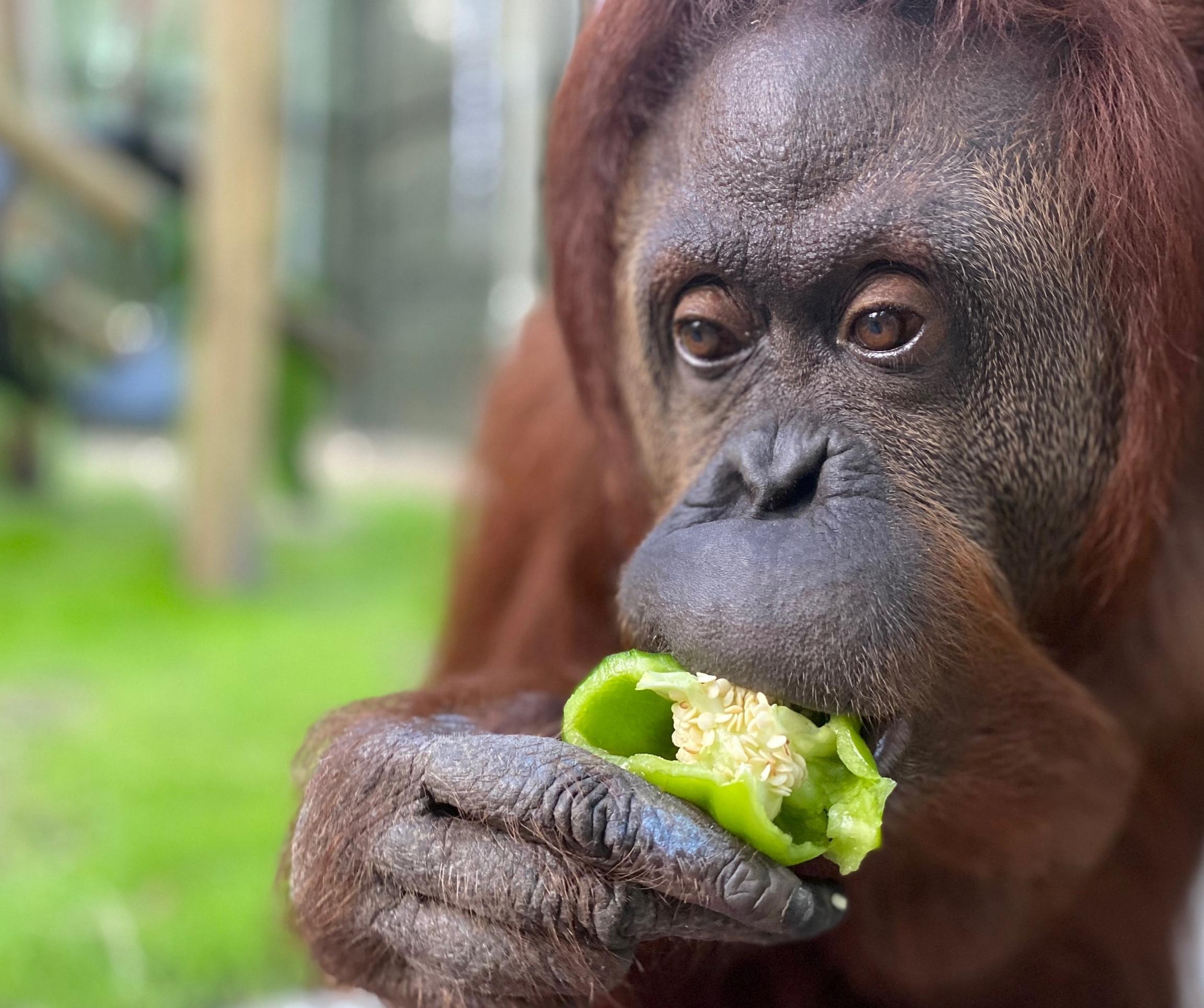 An orangutan eats a green pepper