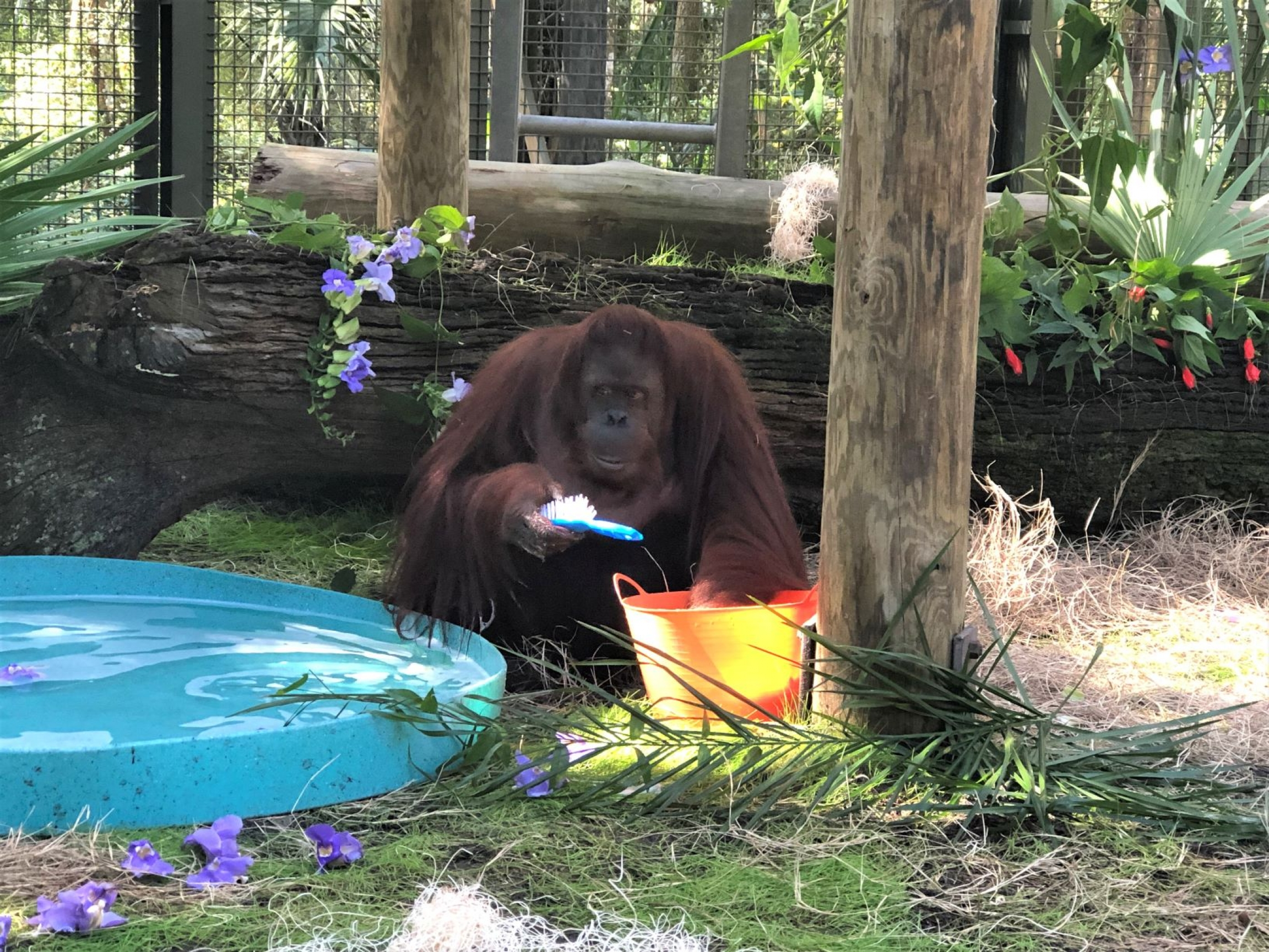 Sandra the orangutan in her new home, the Florida Center for Great Apes, Nov. 12, 2019.