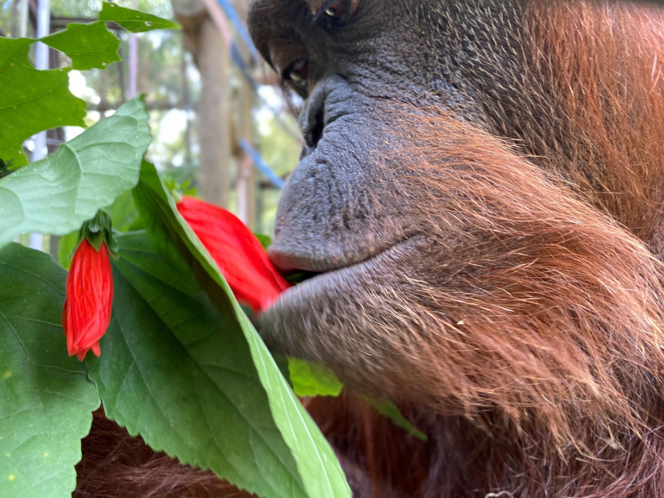 Sandra the orangutan tastes a wild hibiscus, Nov. 12, 2019.