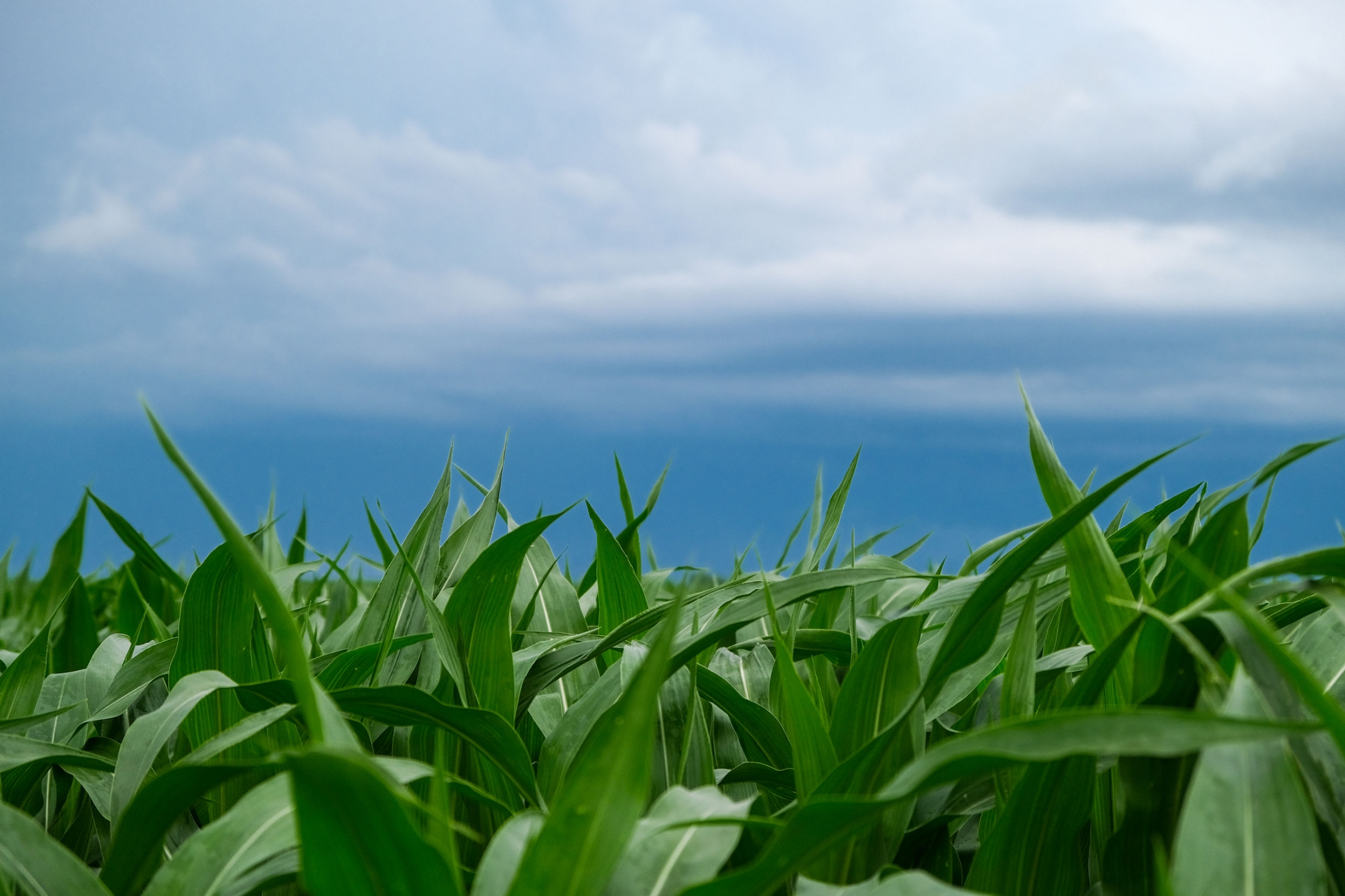 A field of young green corn with a blue sky in the background.