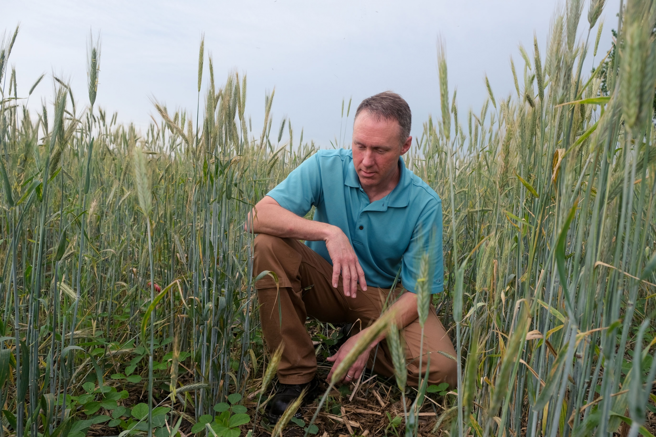 A man is shown kneeling in a wheat field and wearing a blue shirt.