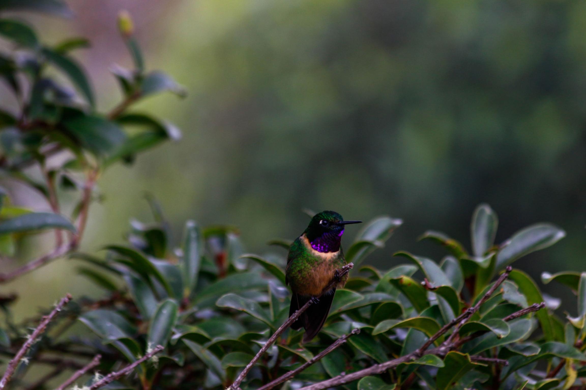 An amethyst-throated sunangel hummingbird is shown sitting on a branch.
