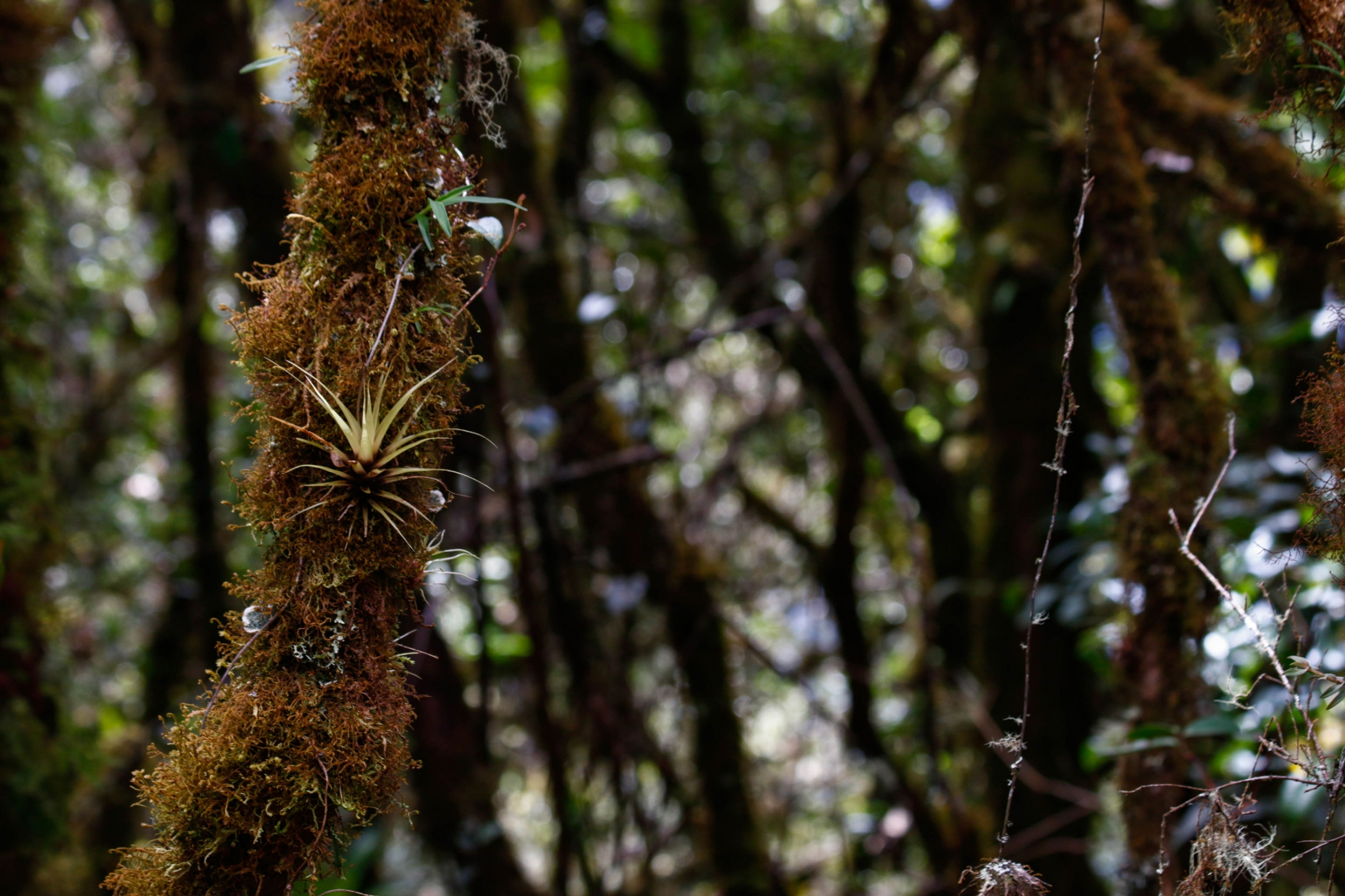 A close-up photograph of the bromeliads and mosses of the cloud forest.