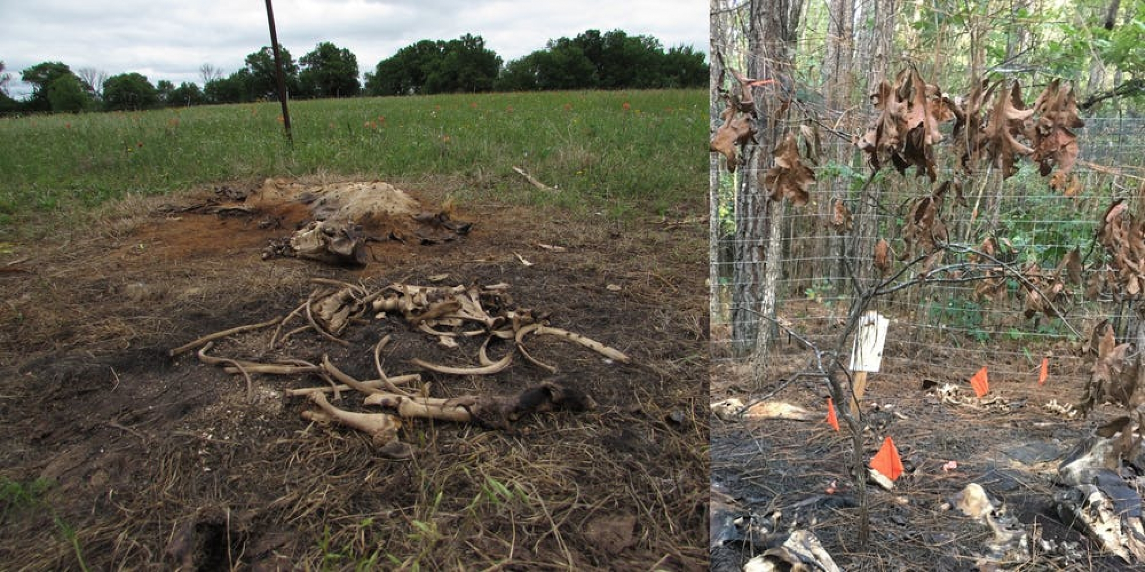 "Only bones and fur remained a few weeks after a simulated MME (left). Chemicals leached into the soil during decomposition create a ""cadaver island,"" killing plants and trees (right)."