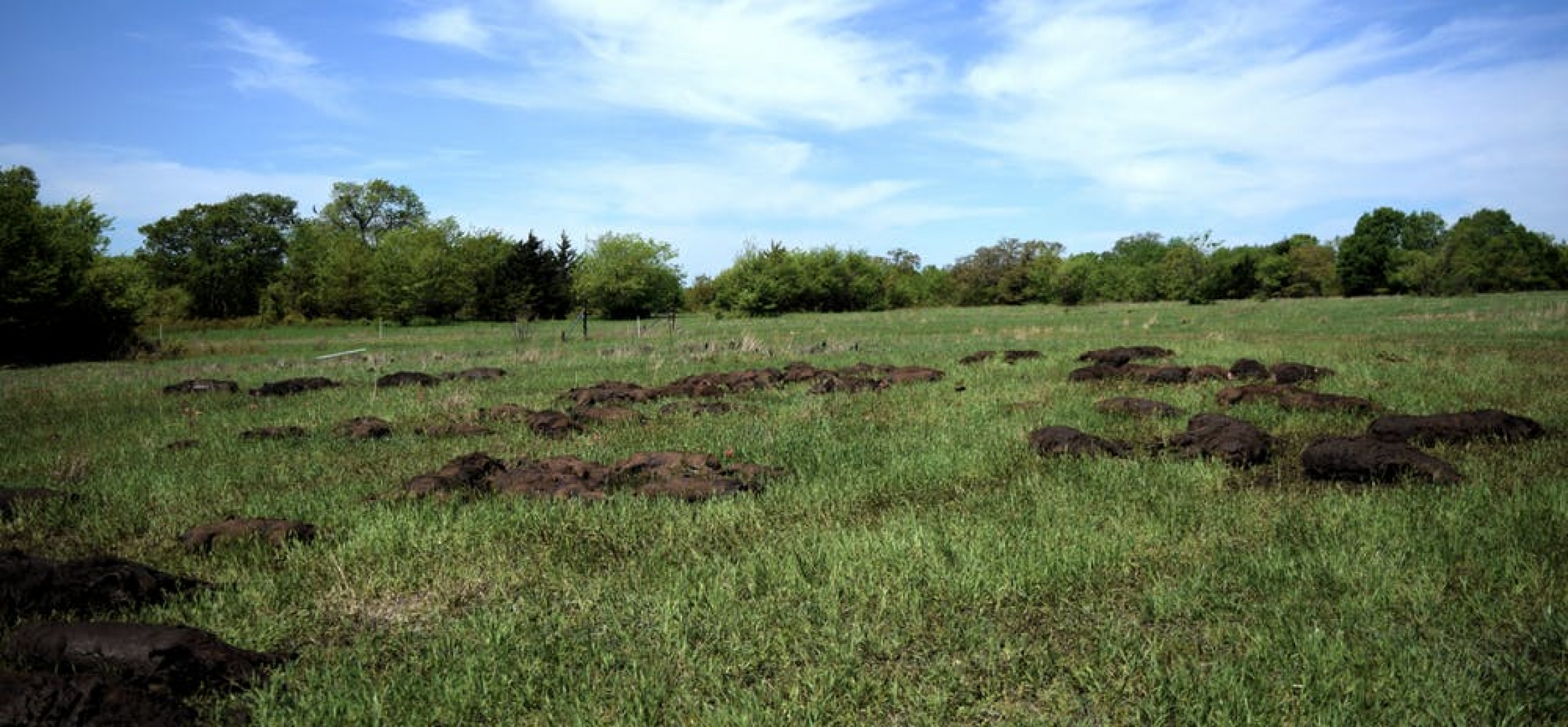 Trappers donated nearly 15,000 pounds of feral swine carcasses to simulate mass mortality events in Oklahoma in 2019.