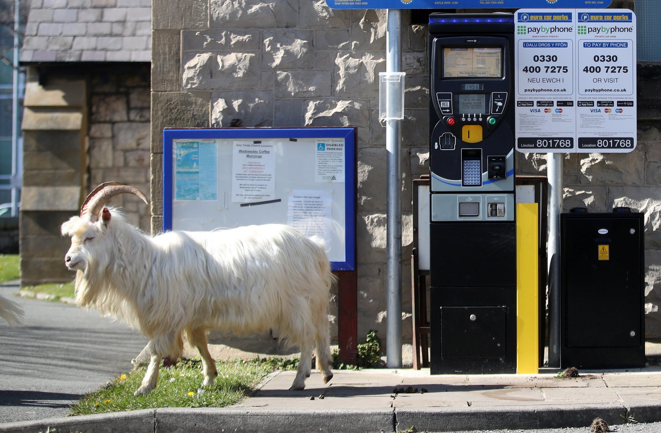 A white goat walks by a parking meter.
