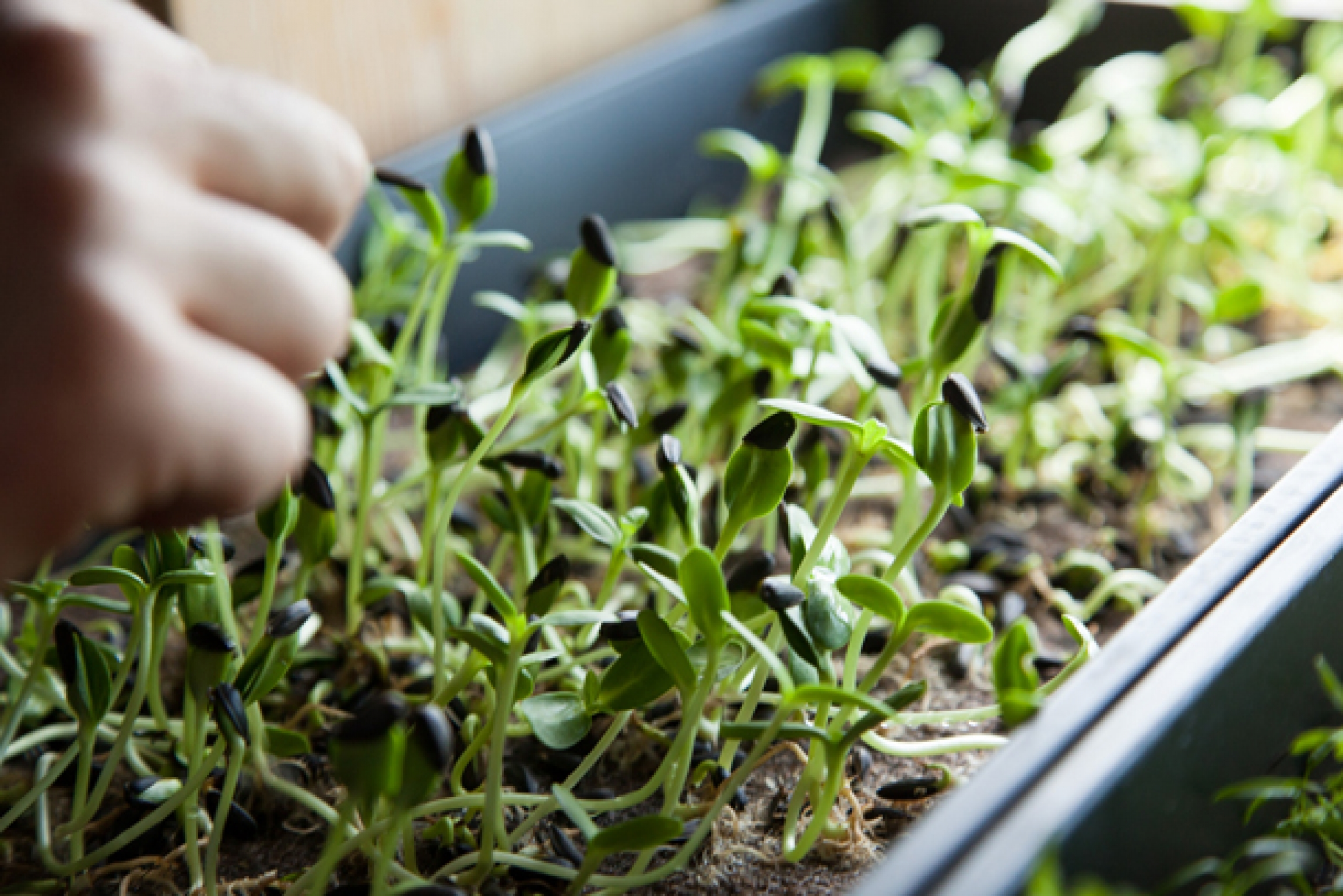 Microgreens are a simple way of incorporating fresh ingredients for cooking that you can grow in the comfort of your home. Some of the most popular microgreens include pea shoots, radish sprouts, sunflower shoots and wheatgrass.