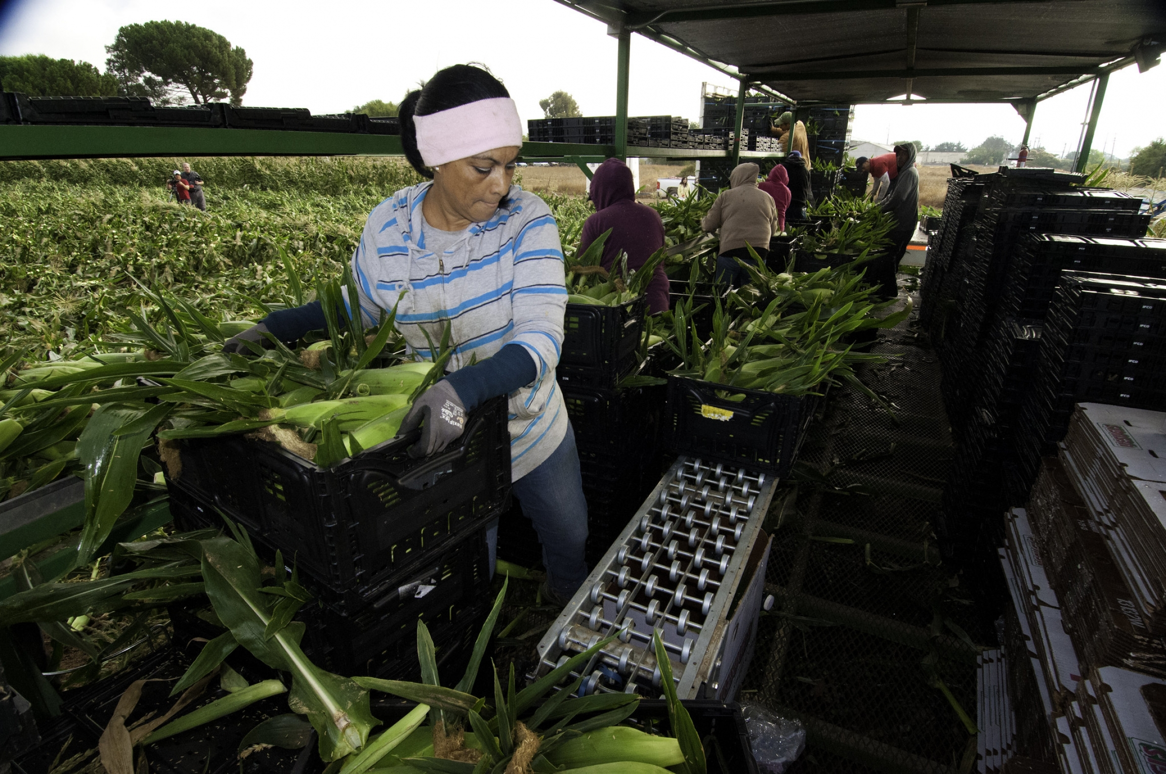 Migrant farmworkers harvest corn