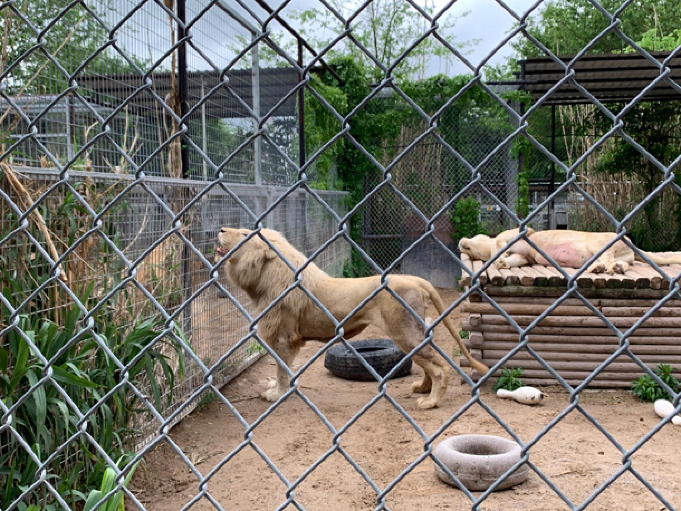 Lions in a roadside zoo