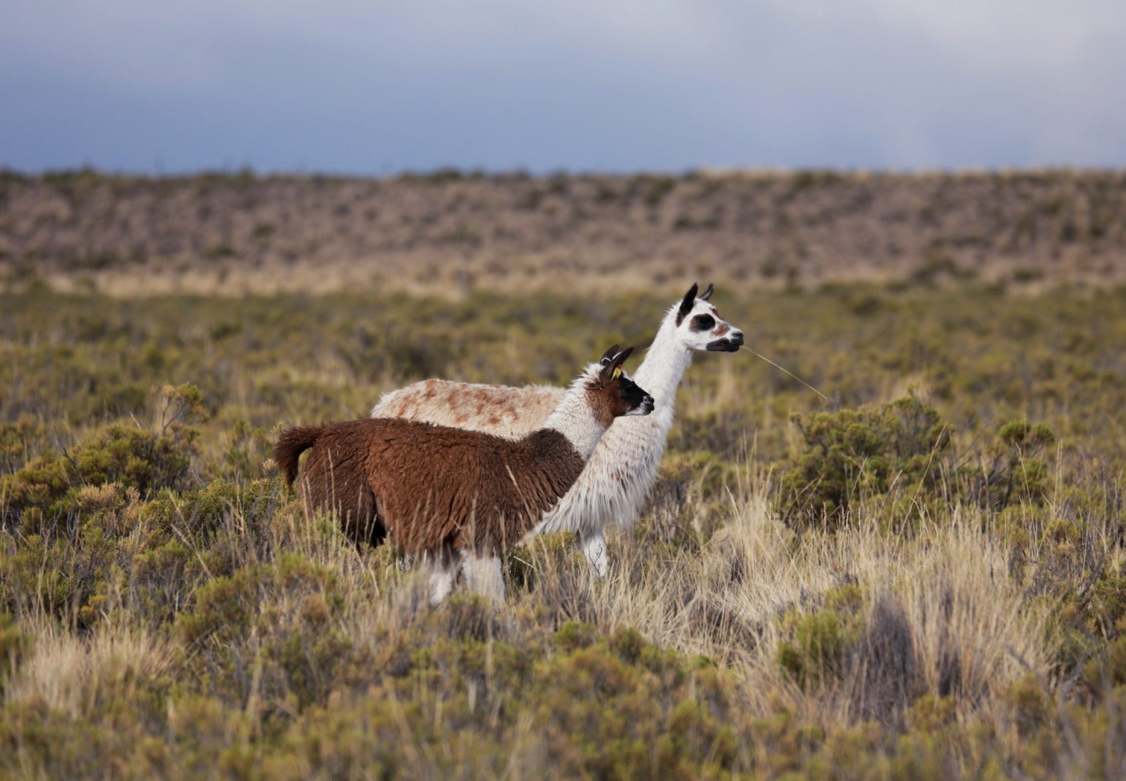 Two llamas in a field.