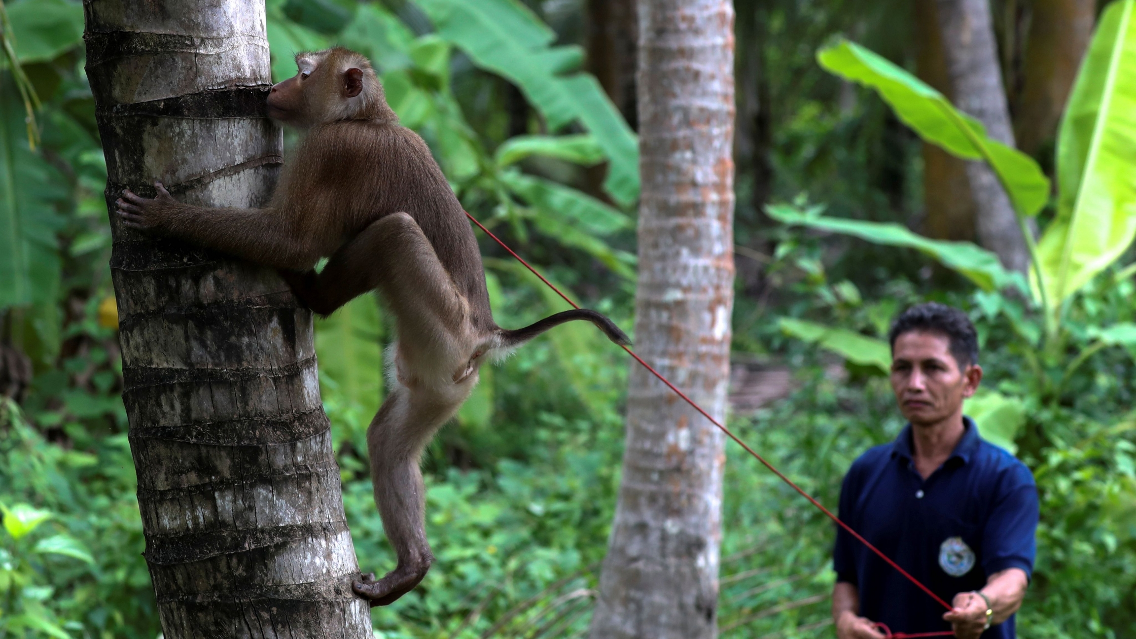 Nirun Wongwanich, 52, a monkey trainer, trains a monkey during a training session at a monkey school for coconut harvest in Surat Thani province, Thailand, July 10, 2020.