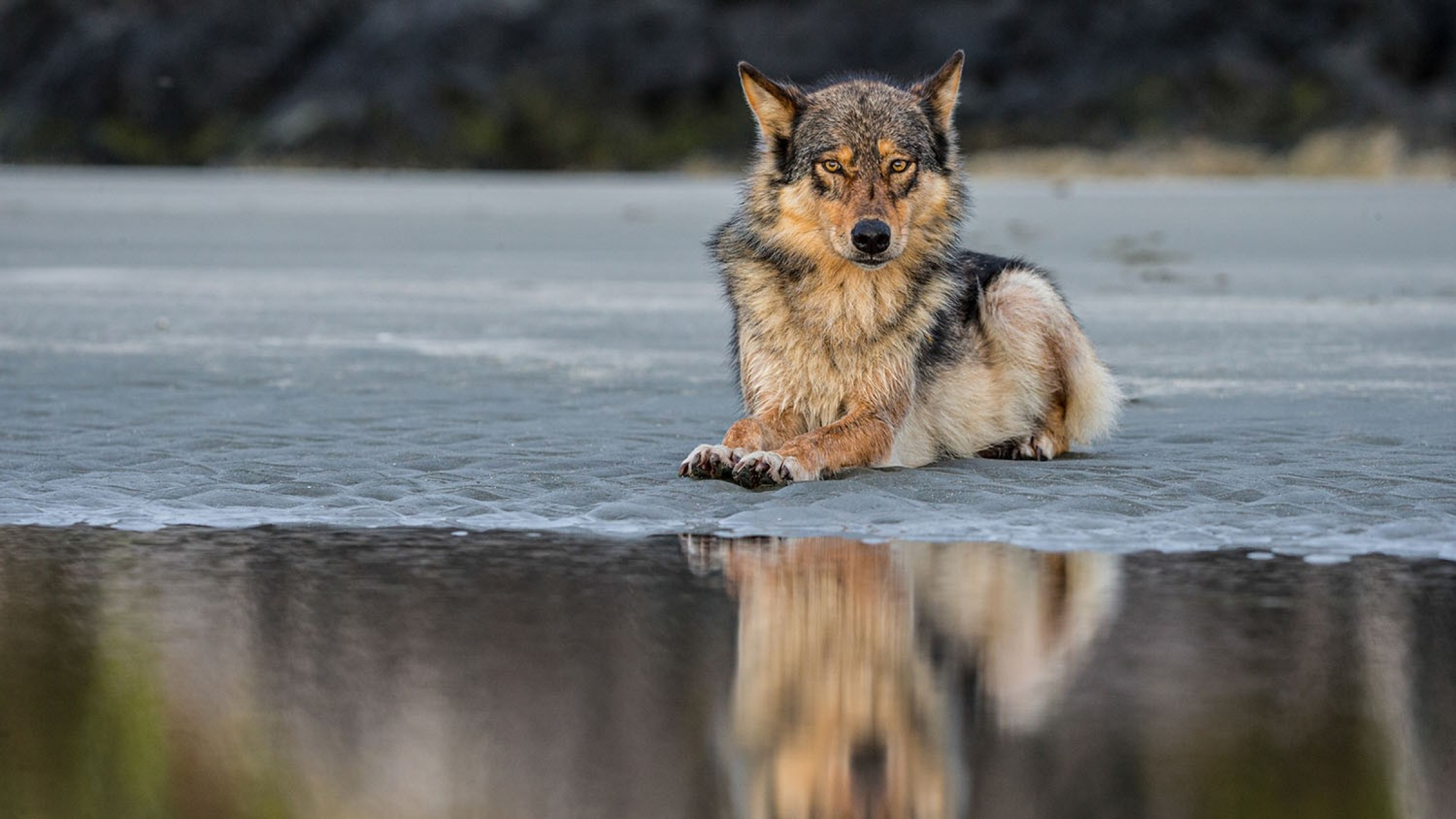 Sightings of the elusive coastal wolves are usually rare, with many visitors only finding foot prints or hearing calls but not actually spotting the animals.