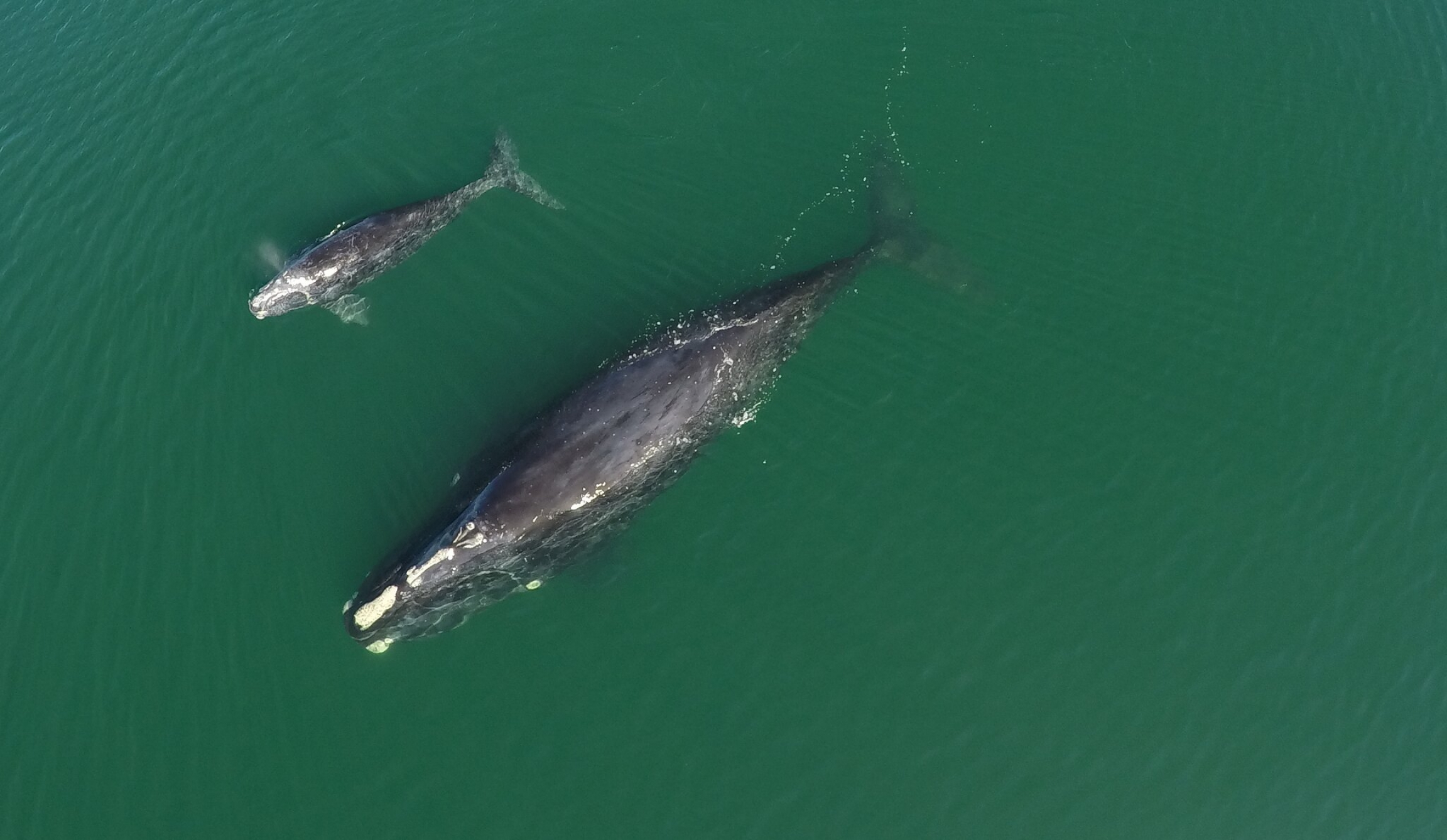 North Atlantic right whale with calf in blue-green waters