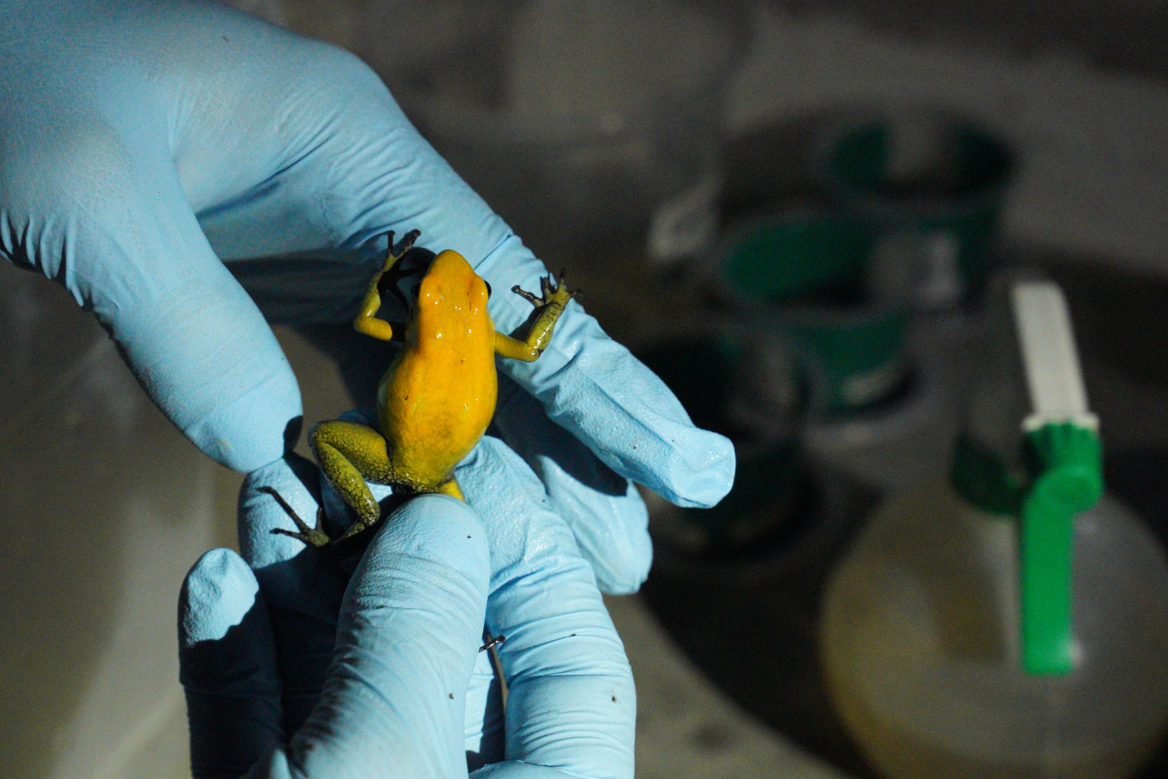 Ivan Ramos inspects a Phyllobates bicolor that is about to be sent to a collector in Europe.