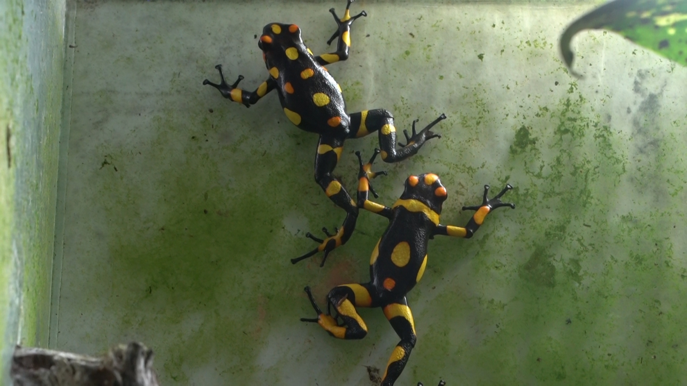 Yellow and black tiny frogs