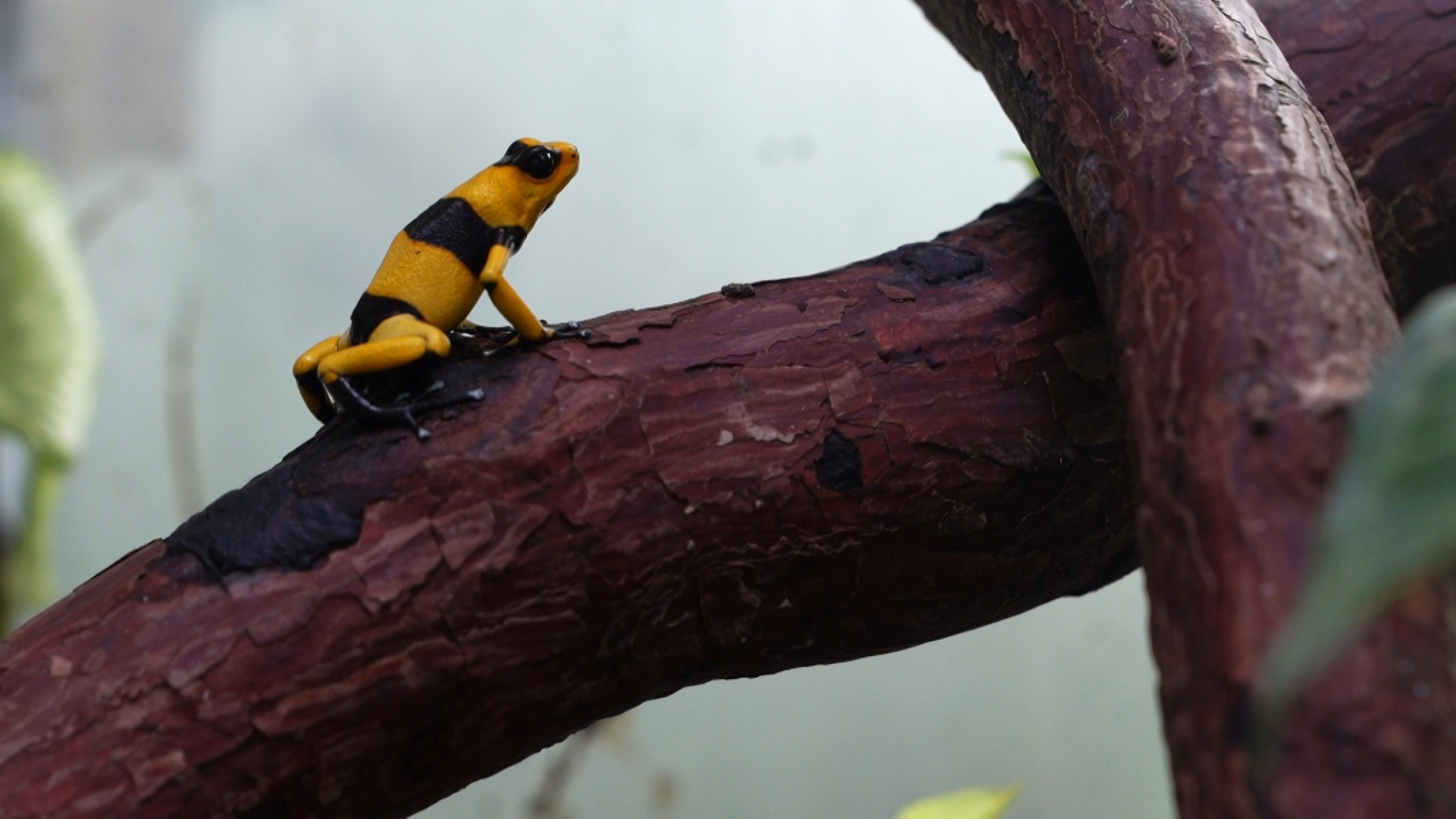 A yellow and black striped frog sits on a branch