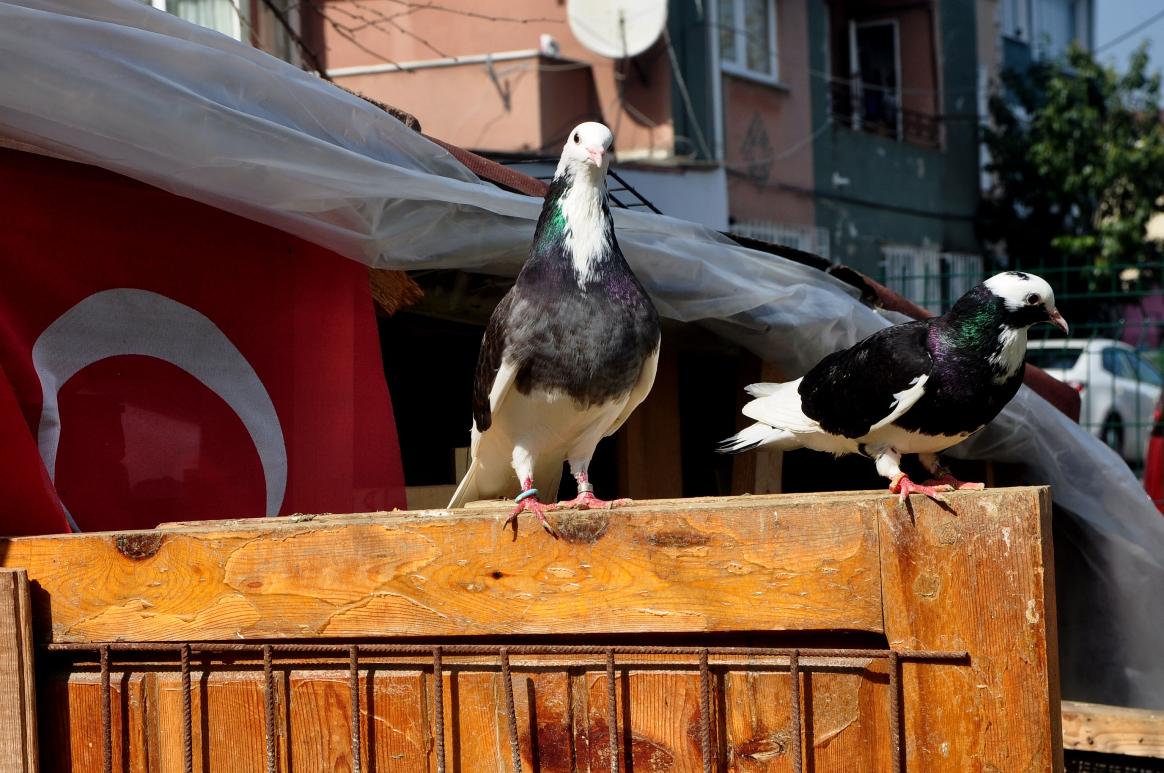 After lunch, a pair of Yalcın Karcı's pigeons sit and observe the visitors.