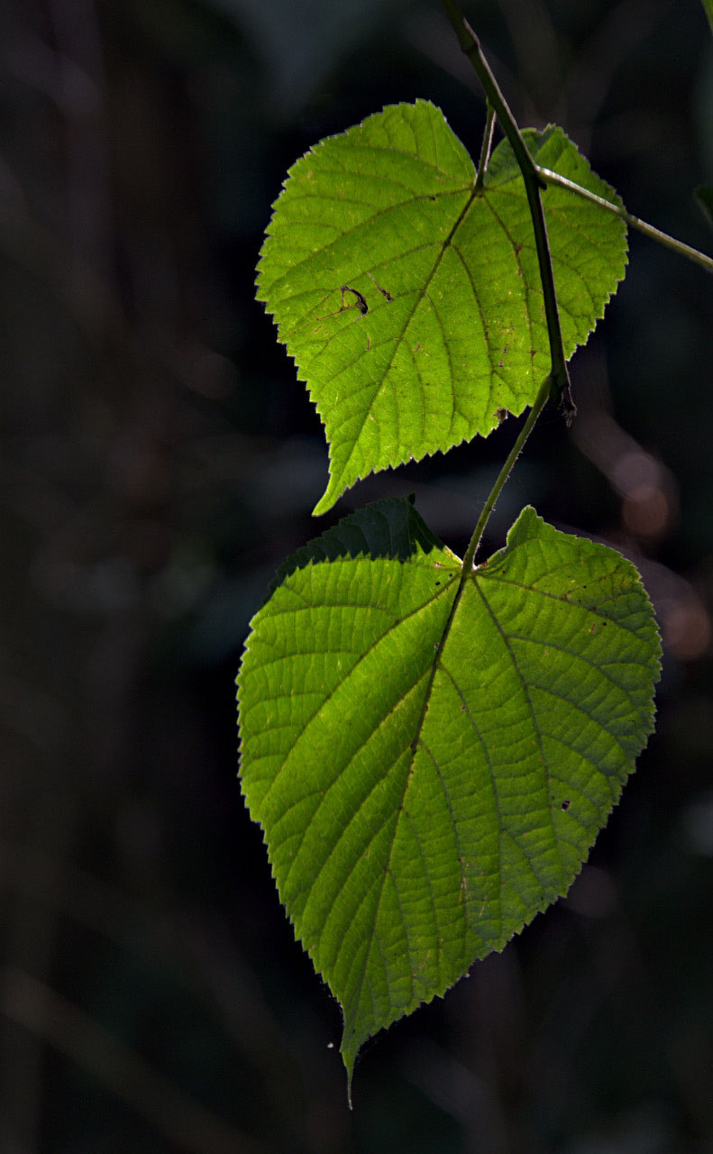 Two small green leaves are shown while the rest of the photograph is dark.